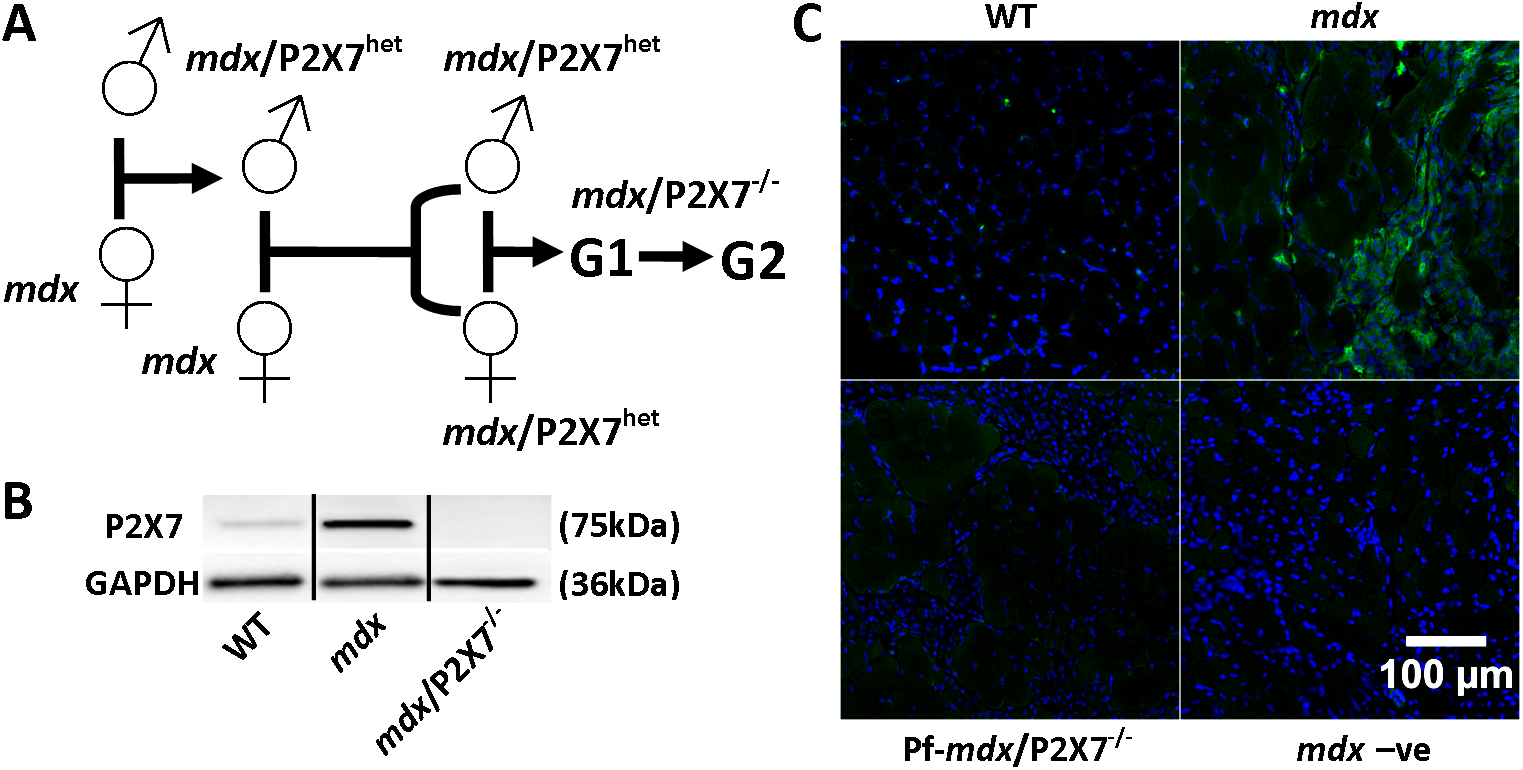 Generation and characterization of <i>mdx</i>/P2X7<sup>−/−</sup> mice.