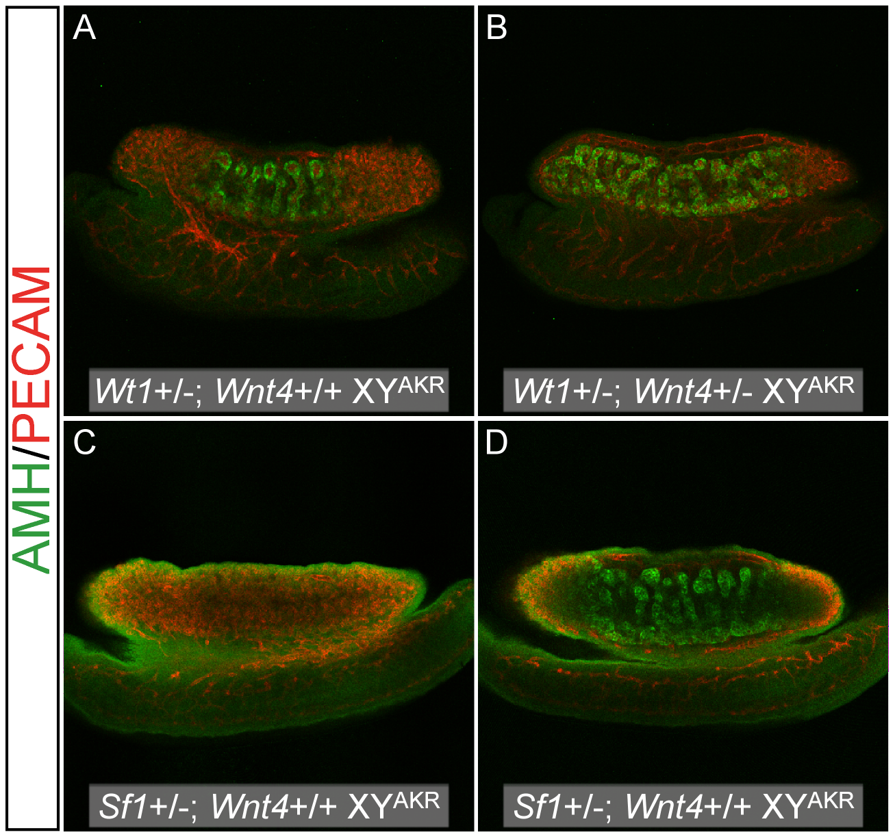 Reduced <i>Wnt4</i> dosage partially rescued cord differentiation in B6 XY genotypes that typically develop ovarian tissue.