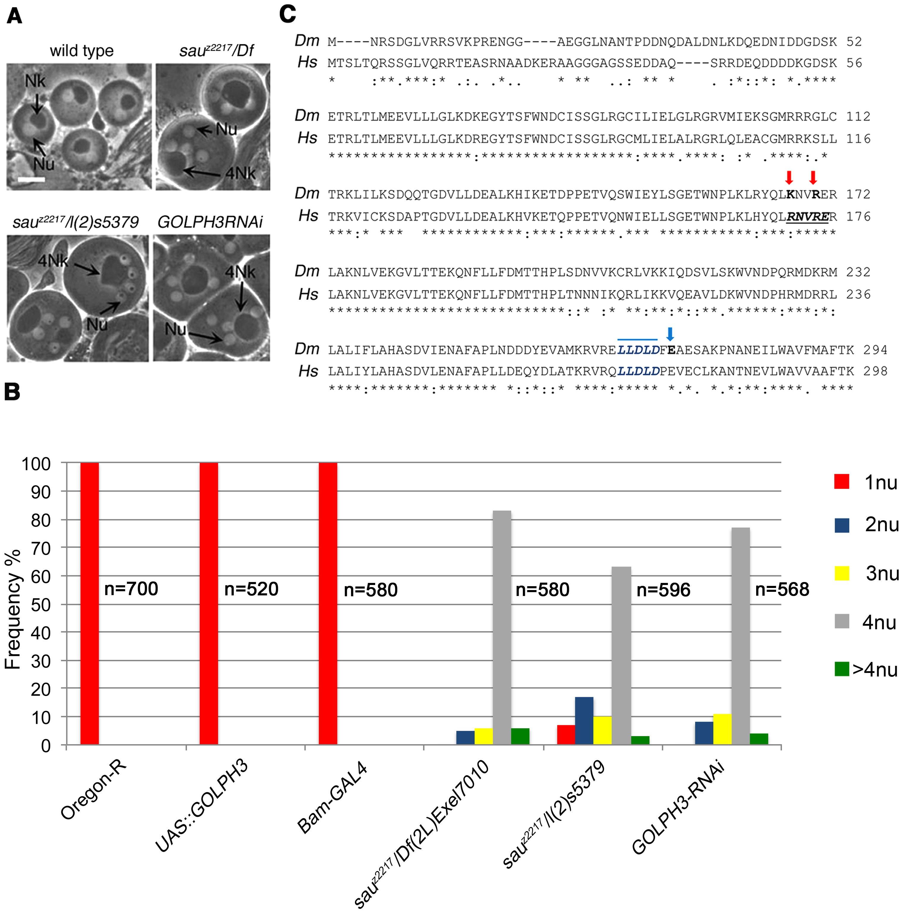 <i>Drosophila</i> GOLPH3 is required for spermatocyte cytokinesis.