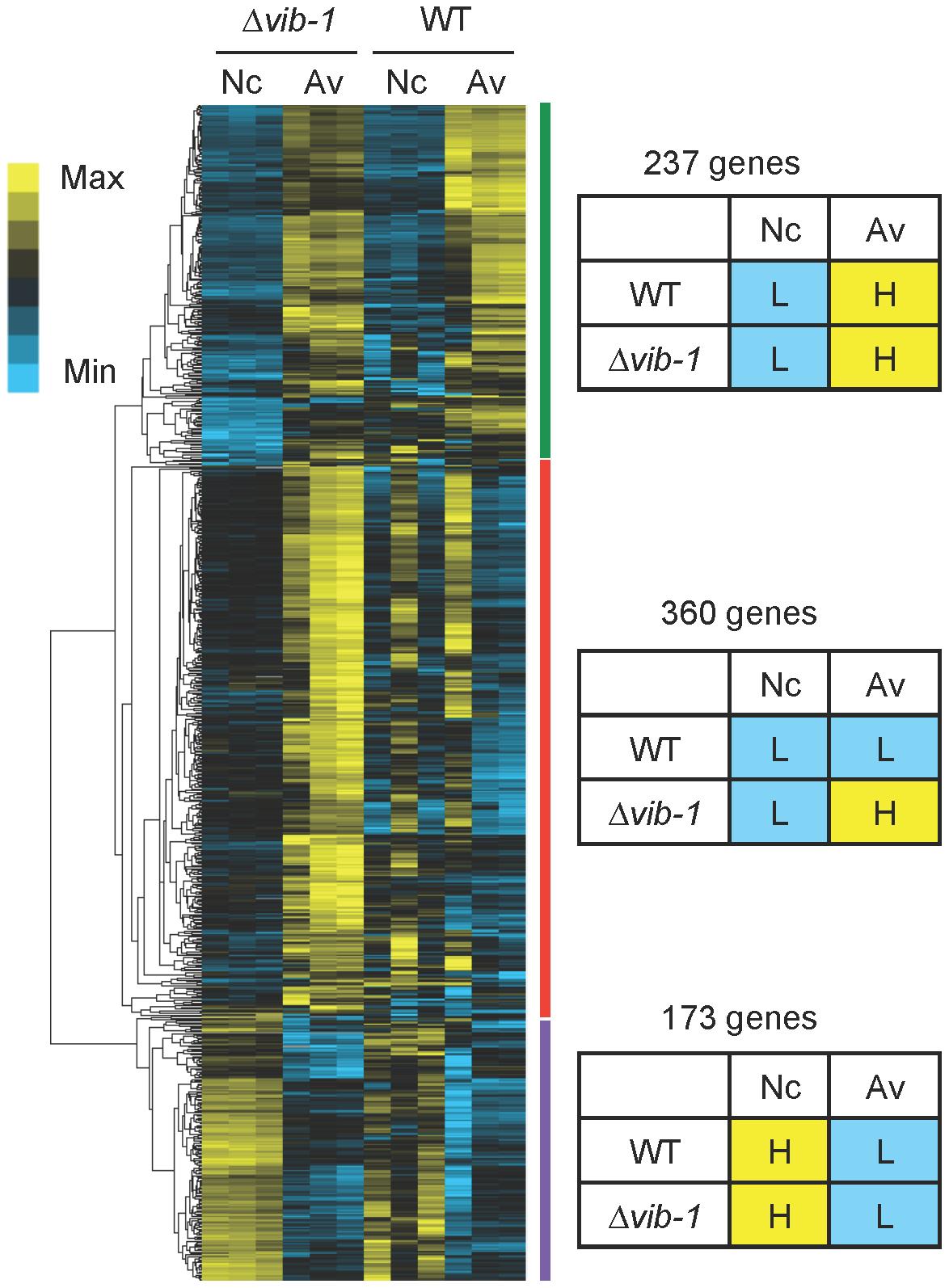 Comparative analysis of gene expression between Δ<i>vib-1</i> and WT shifted to media lacking a carbon source (Nc) versus Avicel (Av) revealed potential CCR regulators.