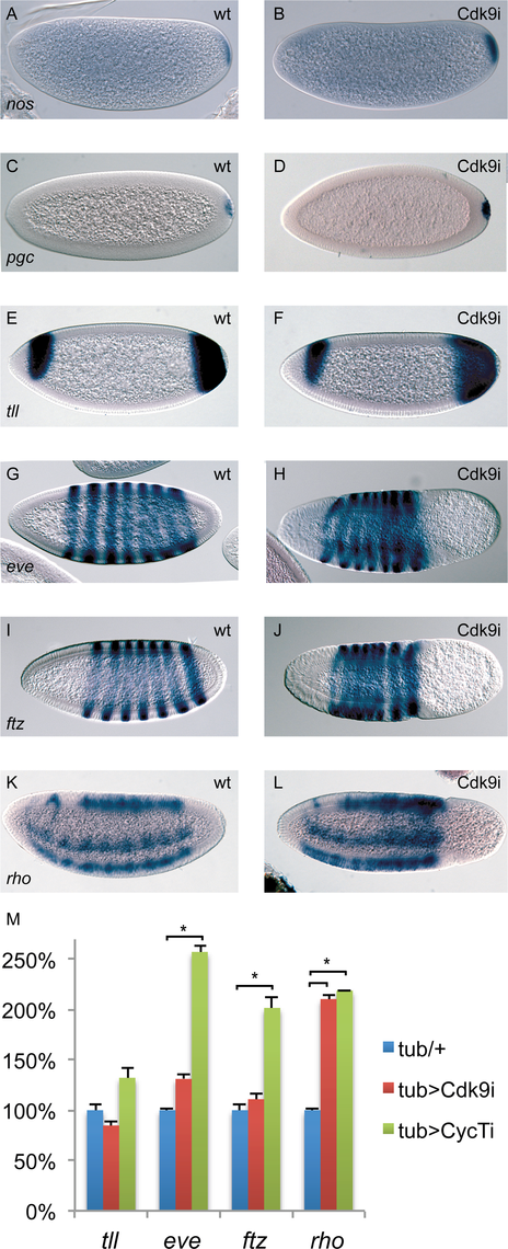 The expression of many patterning genes is relatively normal in P-TEFb embryos.