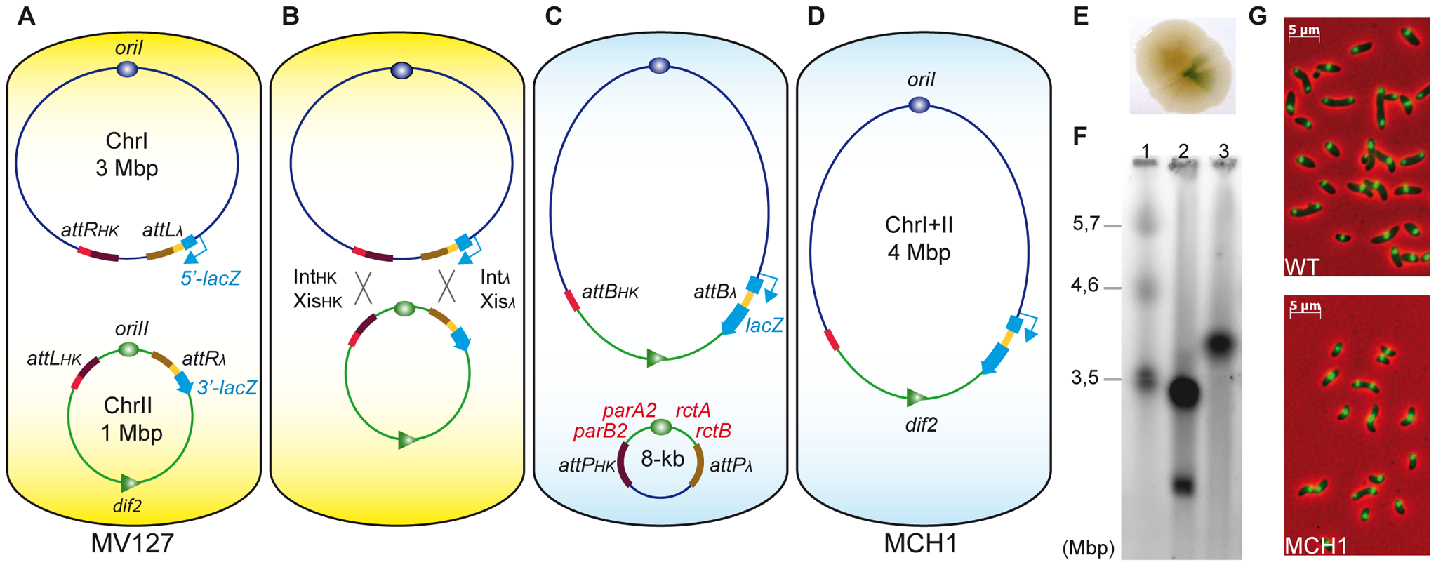 A mono-chromosomal <i>V. cholerae</i> model, MCH1.