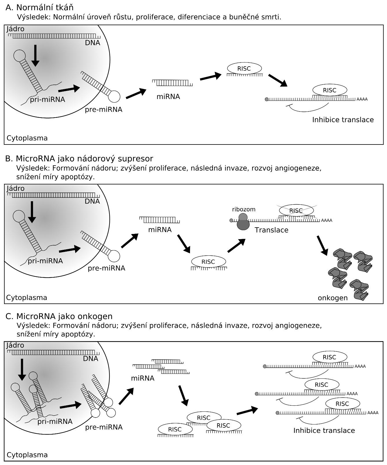 Biogeneze microRNA je zahájena transkripcí primárního transkriptu pri-miRNA pomocí RNA polymerázy II (Pol II). Protein Drosha zajišťuje úpravu pri-miRNA na prekurzor pre-miRNA. Následně je premiRNA exportována z jádra za účasti exportního receptoru Exportin-5 s kofaktorem Ran-GTP (E). V cytoplazmě pokračuje úprava pre-miRNA enzymem Dicer na duplex miRNA, z něhož je jeden řetězec degradován a druhý je využit jako zralá funkční miRNA. Ta je začleněna do komplexu RISC, který umožňuje inhibici translace cílové mRNA nebo její degradaci. Jádro komplexu RISC tvoří protein Argonaut (AGO).
