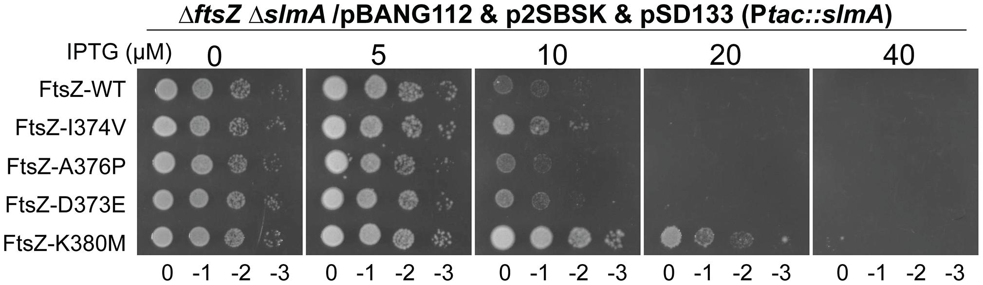 FtsZ tail mutants resistant to MinC/MinD display differential sensitivity to de-localized SlmA.