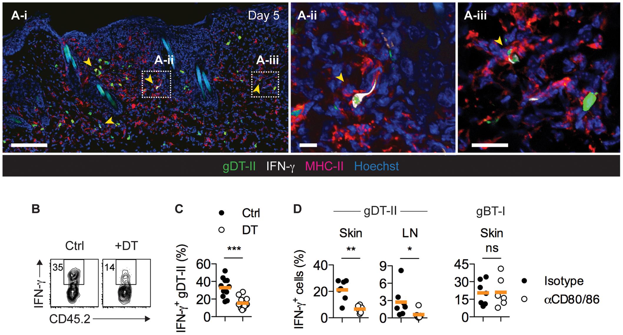 CD11c<sup>+</sup> DCs drive IFN-γ production by CD4<sup>+</sup> T<sub>EFF</sub> cells <i>in vivo</i>.