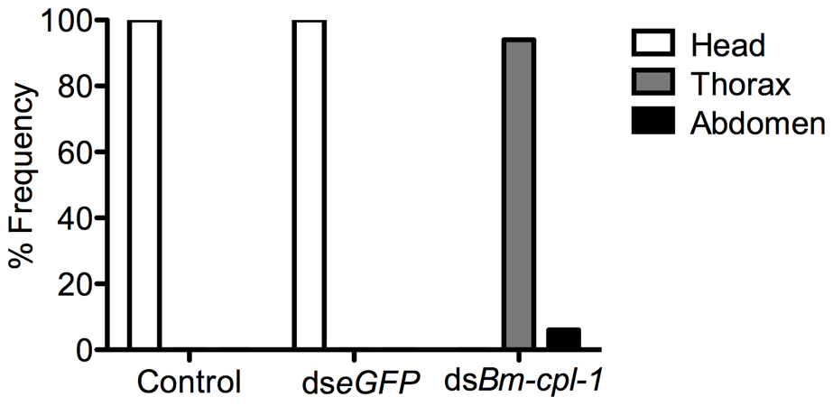 dsRNA <i>Bm-cpl-1</i>-exposed <i>B. malayi</i> fail to migrate to the head of the mosquito.