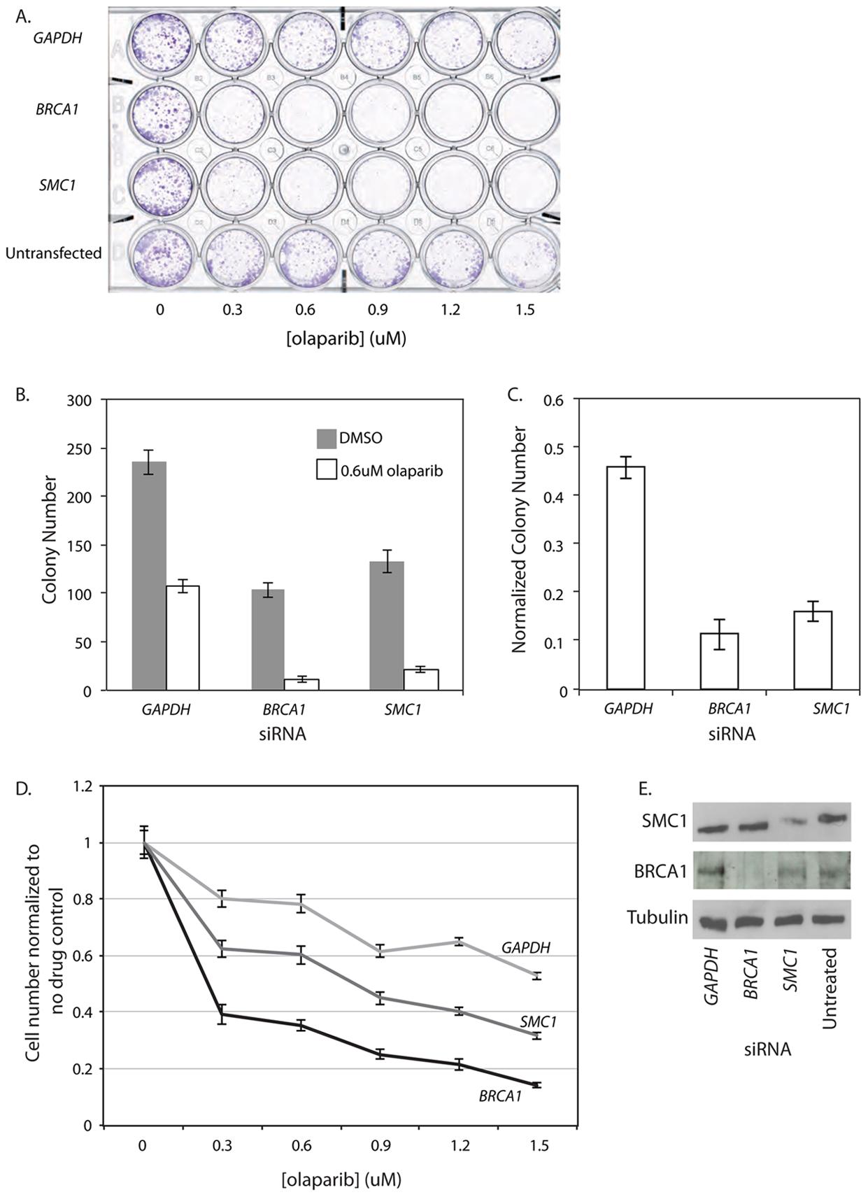 <i>SMC1</i> siRNA treated human cells are sensitive to the PARP inhibitor olaparib.