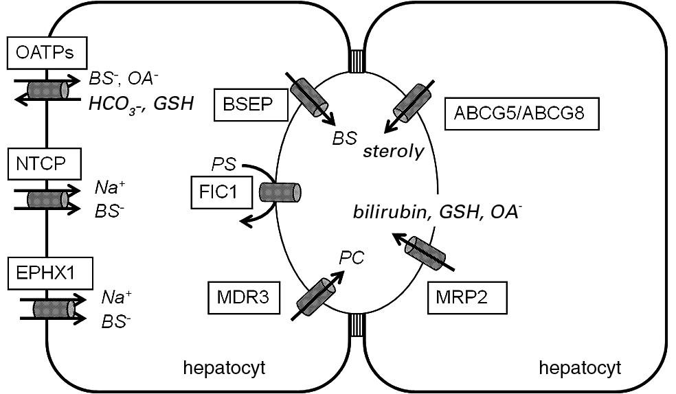 Bazolaterální transportéry solí žlučových kyselin a kanalikulární transportéry žlučových lipidů a pigmentů.