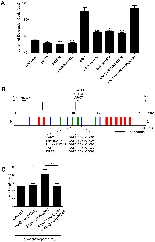 <i>qm179</i> is allelic to <i>tat-2</i>, which encodes a protein homologous to mammalian ATP8B1.