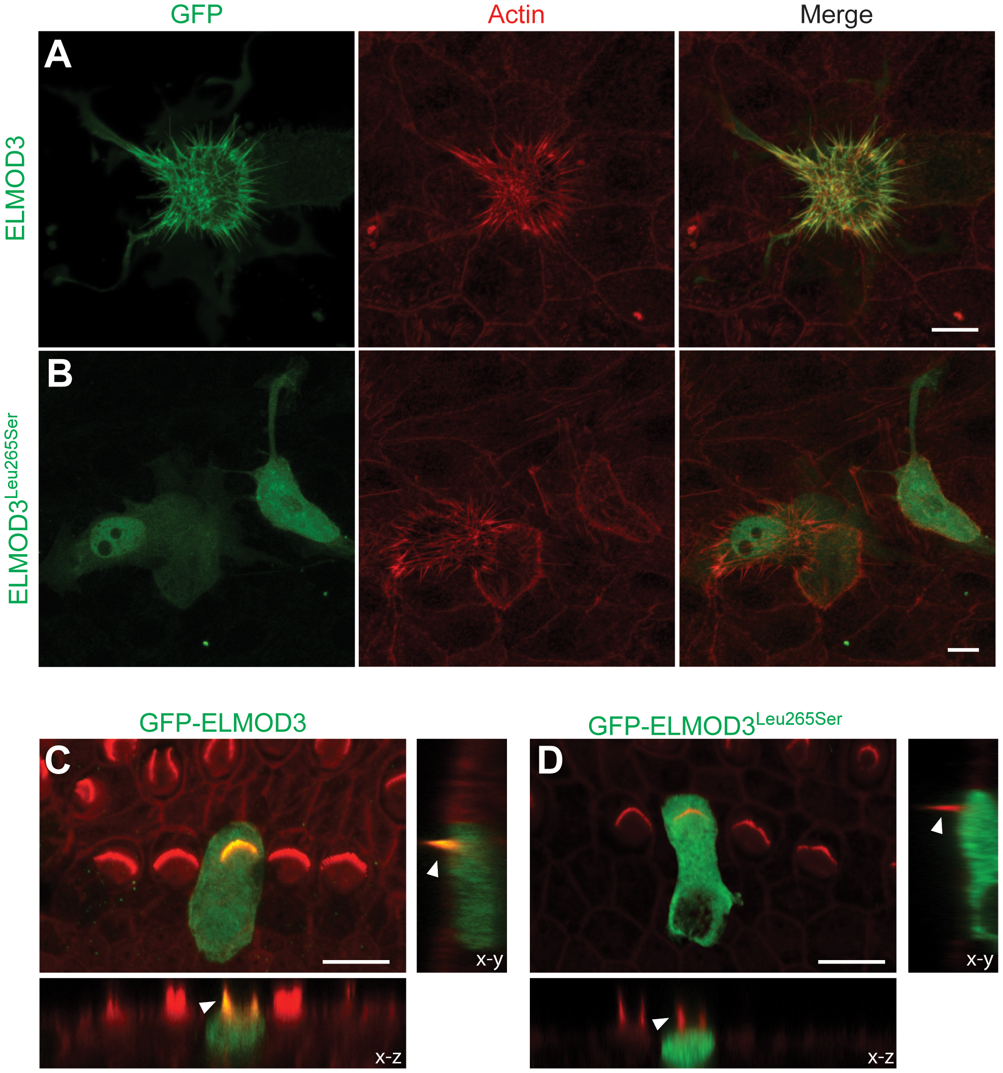 ELMOD3 accumulates at actin-based structures.