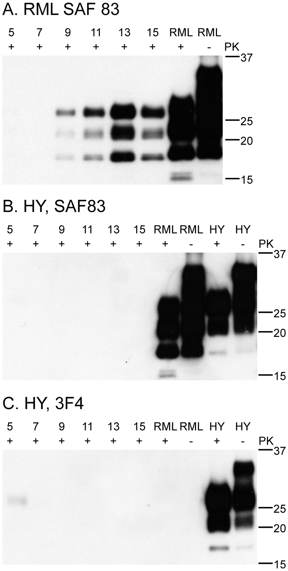 C2C12 myotubes replicate mouse RML prions, but not hamster HY prions.