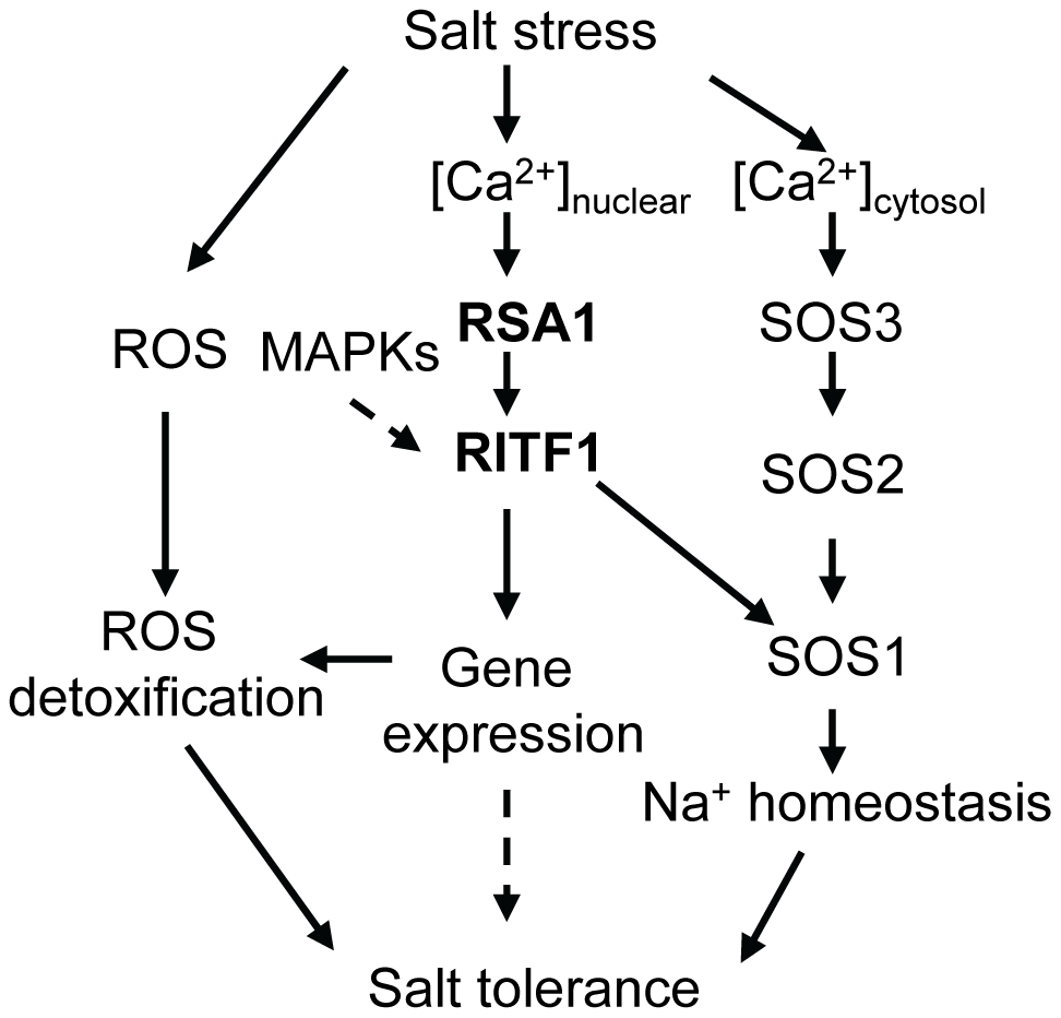 A working model for RSA1 and RITF1 function under salt stress.