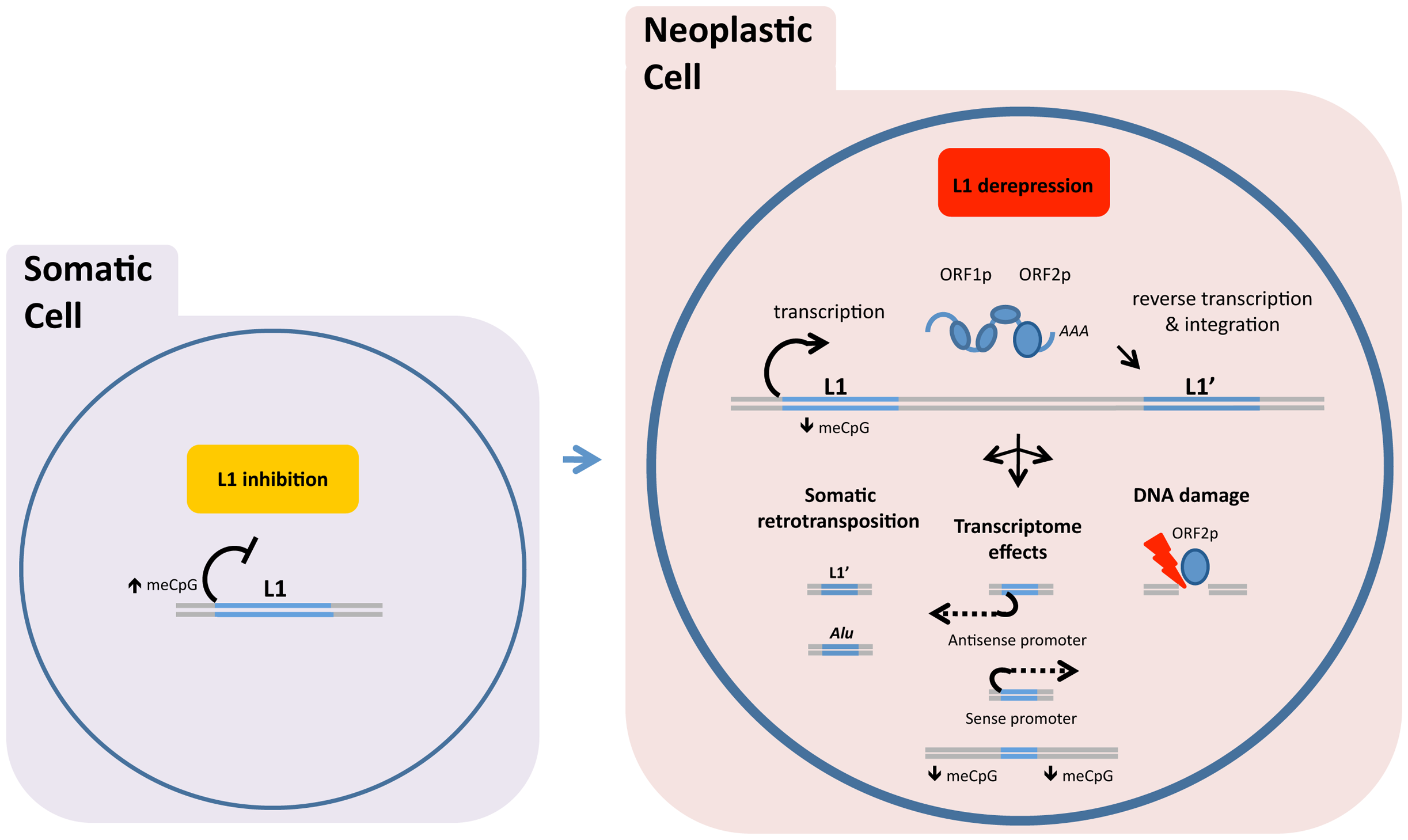 "DNA methylation and related mechanisms inhibit LINE-1 (L1) expression, and hypomethylation of DNA allows the L1 retrotransposon ""life cycle"" to proceed."