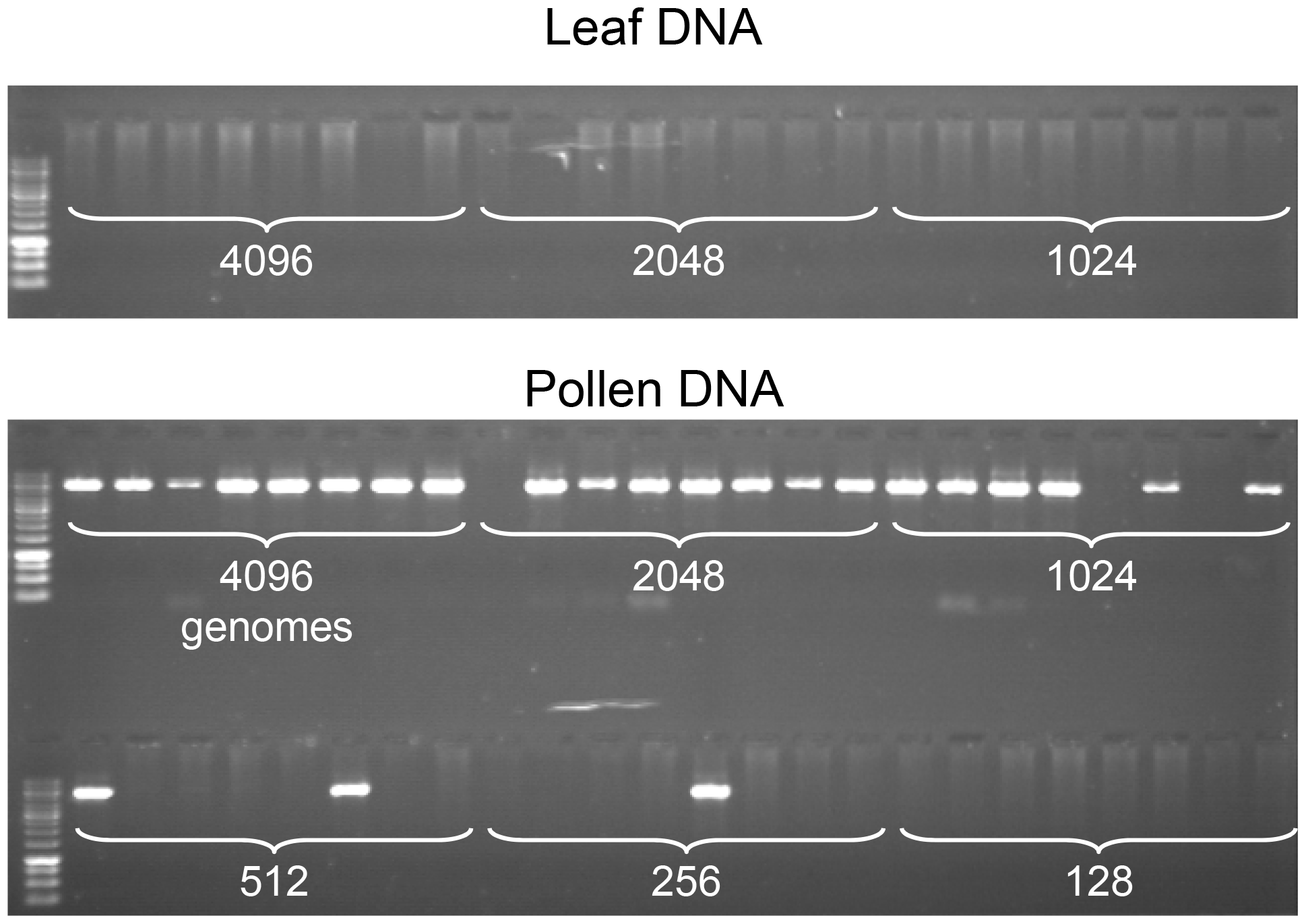 Specific detection of CO molecules in genomic DNA extracted from pollen.