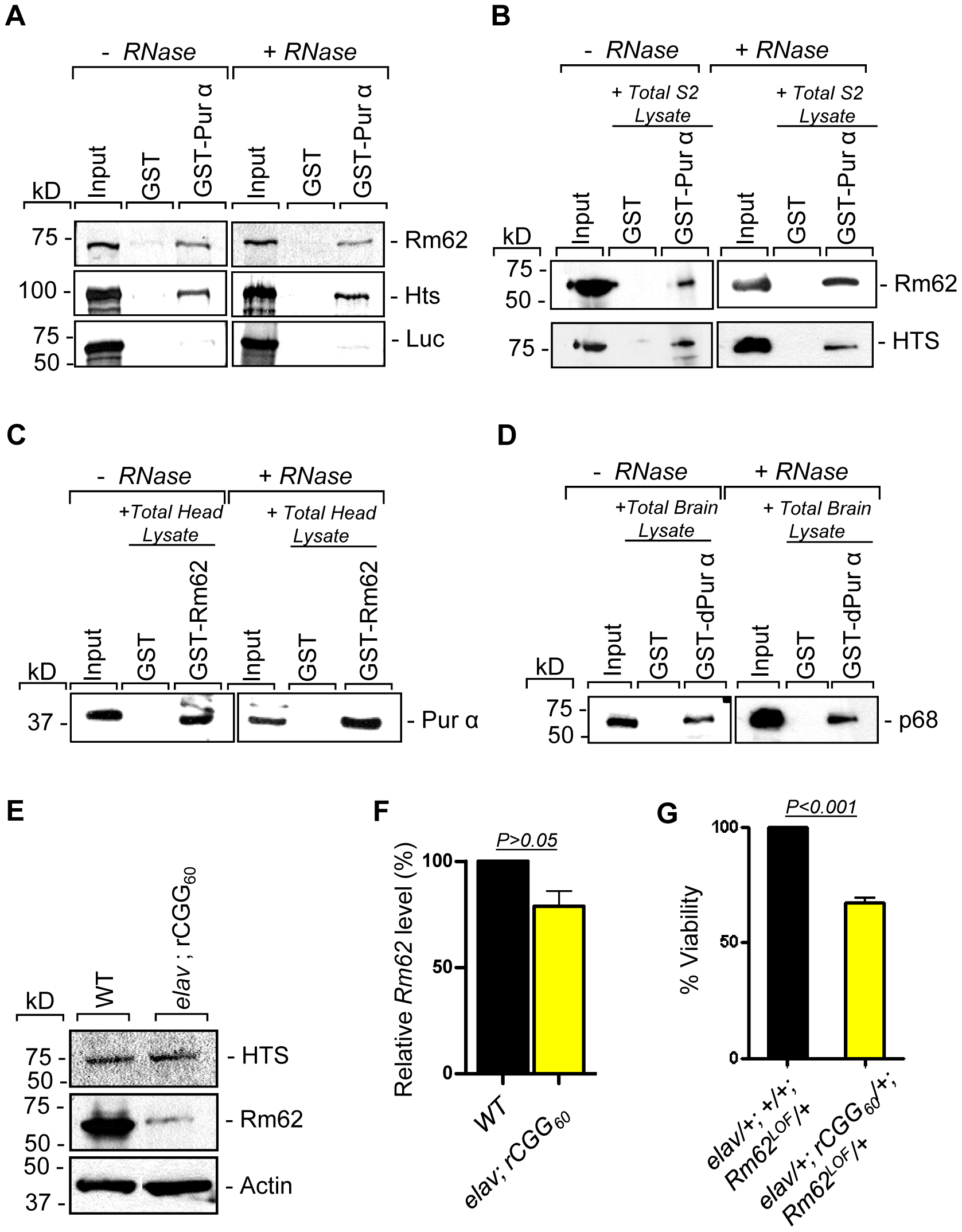 Rm62 and Hts directly interact with Pur α and Fragile X premutation rCGG repeats decrease the expression of Rm62 posttranscriptionally.