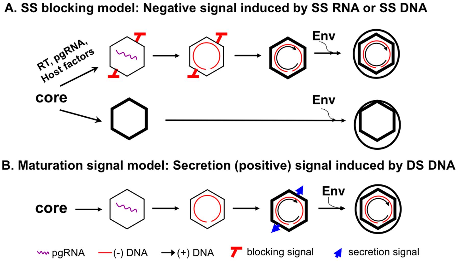 The single strand blocking hypothesis for selective hepadnavirus virion morphogenesis.