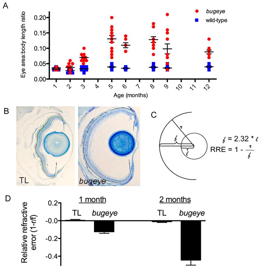 Eye growth and relative refractive errors in <i>bugeye/lrp2</i> mutants.