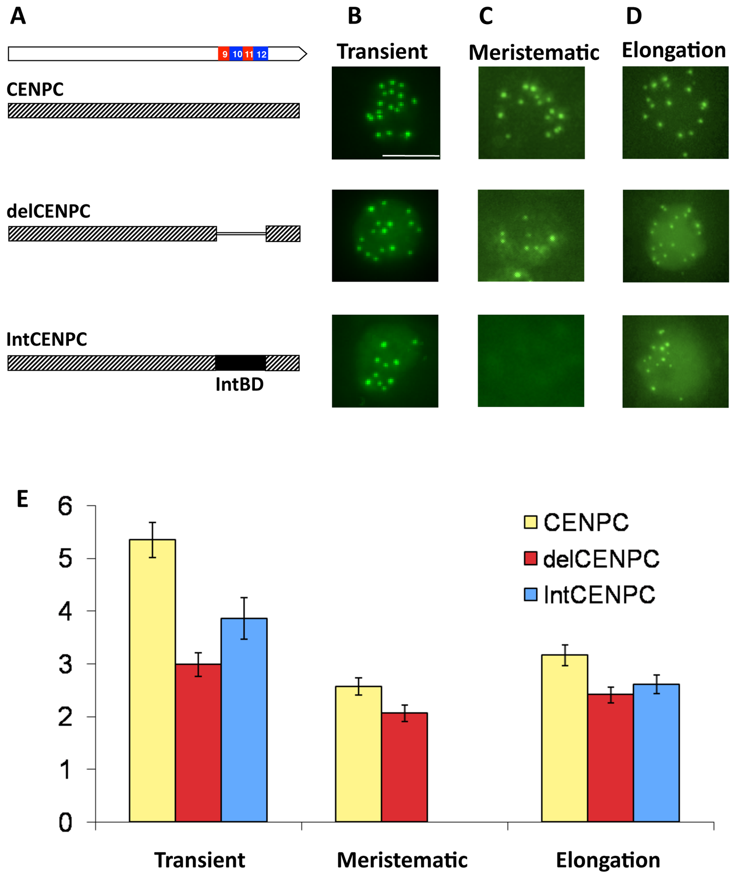 Removal or replacement of Exon 9–12 delocalizes CENPC <i>in vivo</i>.