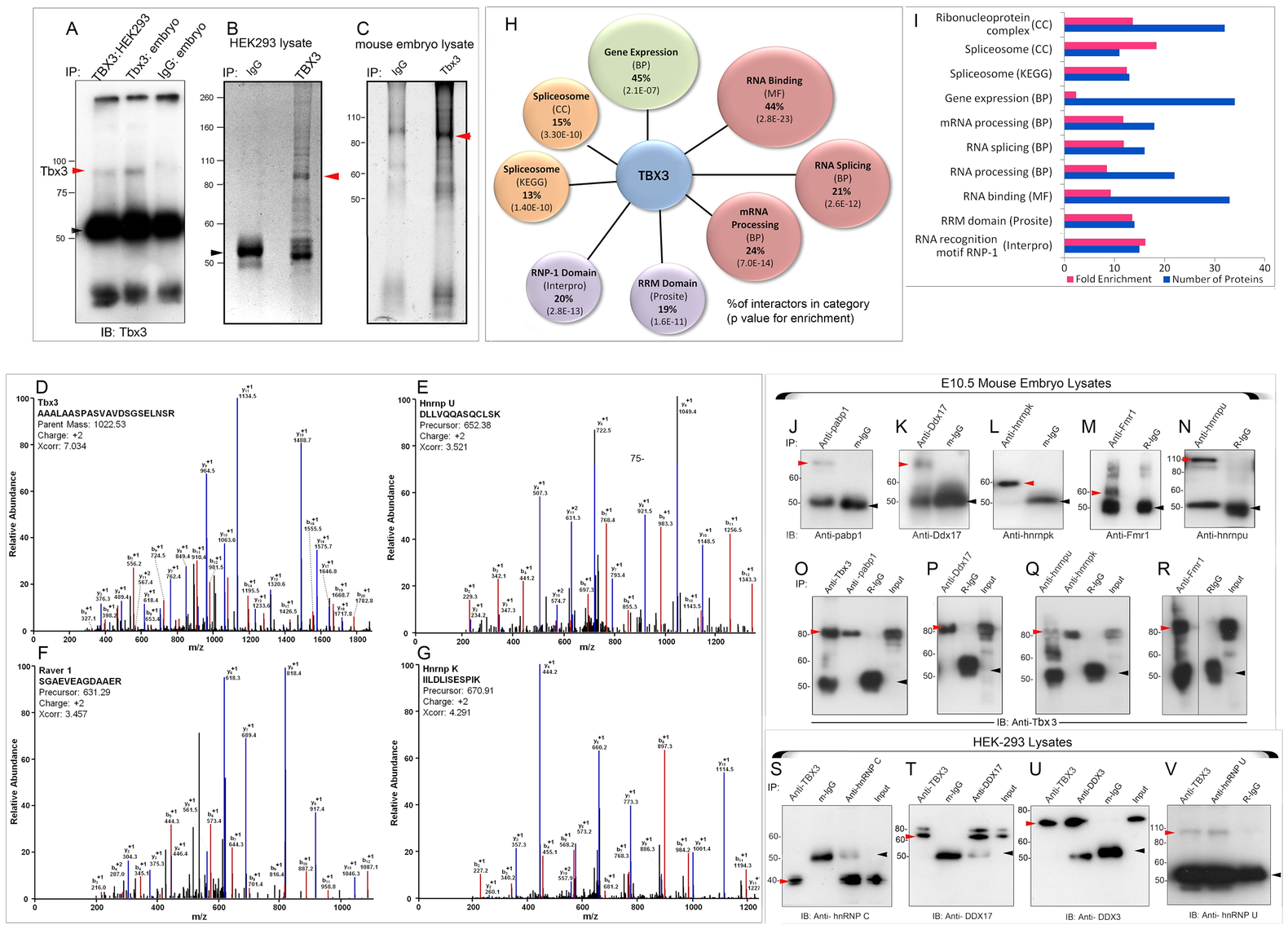 Splicing factors and RNA BPs are over-represented in the Tbx3 interactome identified by MS and are validated co-immunoprecipitation.