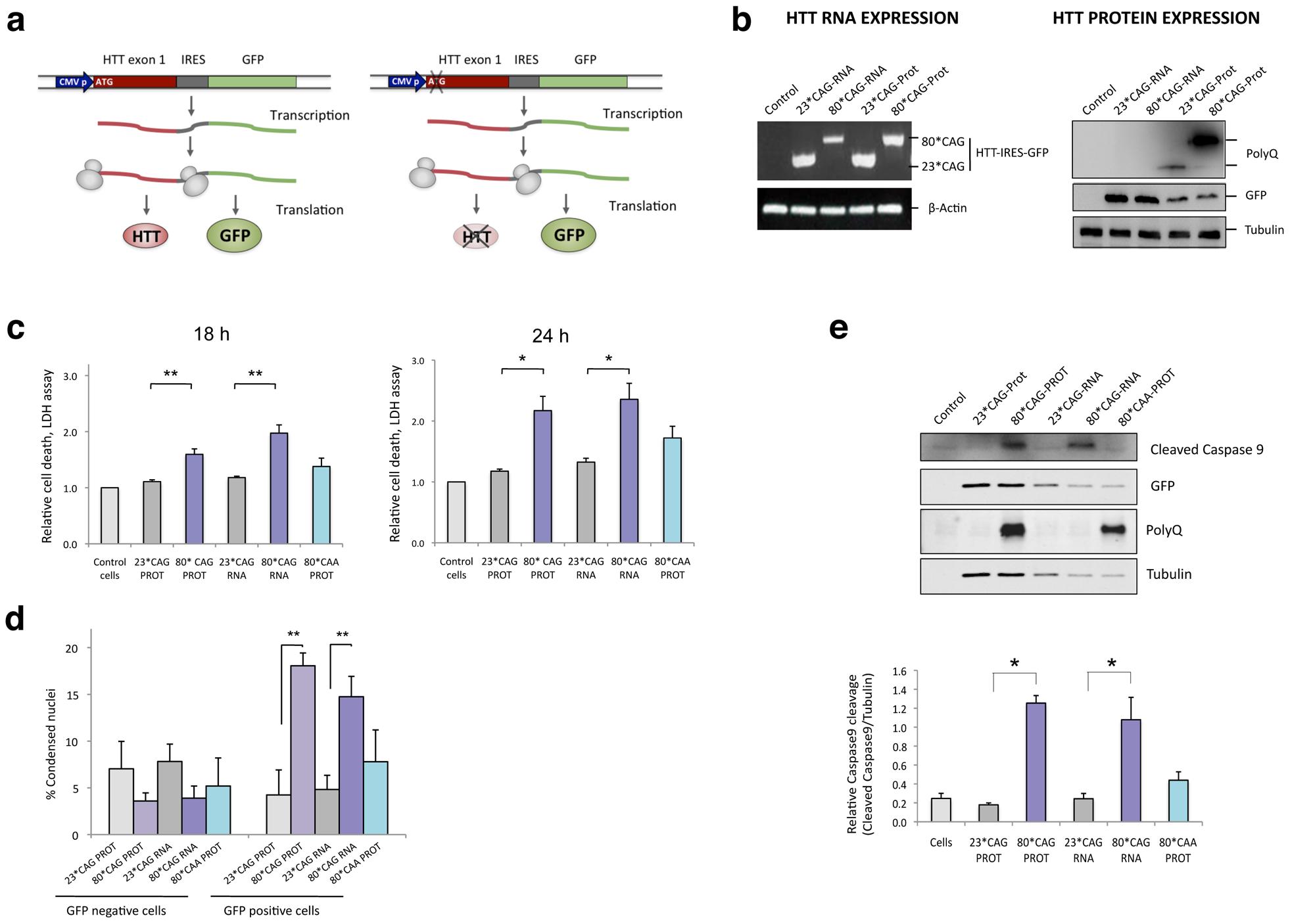 CAG-expanded exon 1 of human <i>HTT</i> is toxic at the RNA level.