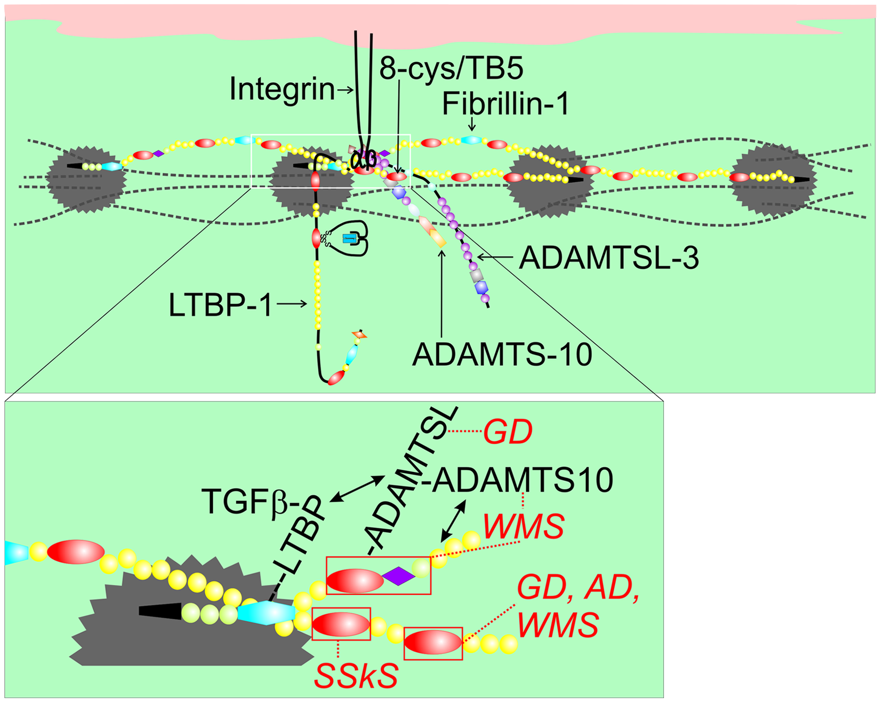 Model of fibrillin-1 containing microfibrils showing the locations of binding sites for ADAMTSL proteins, LTBP-1, and integrins.