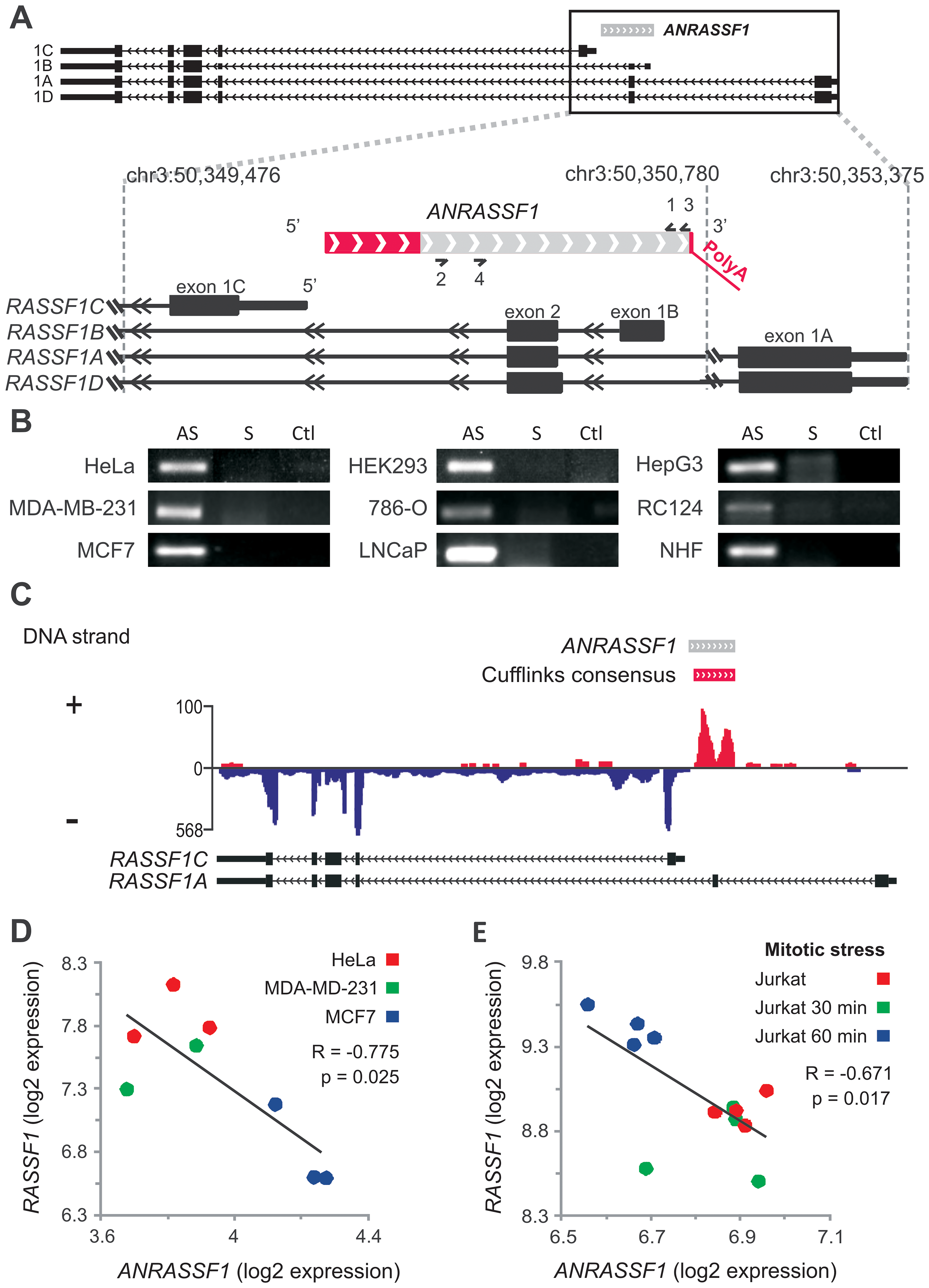 Antisense noncoding RNA <i>ANRASSF1</i> is expressed within the <i>RASSF1</i> genomic locus and inversely correlated with <i>RASSF1</i> expression.
