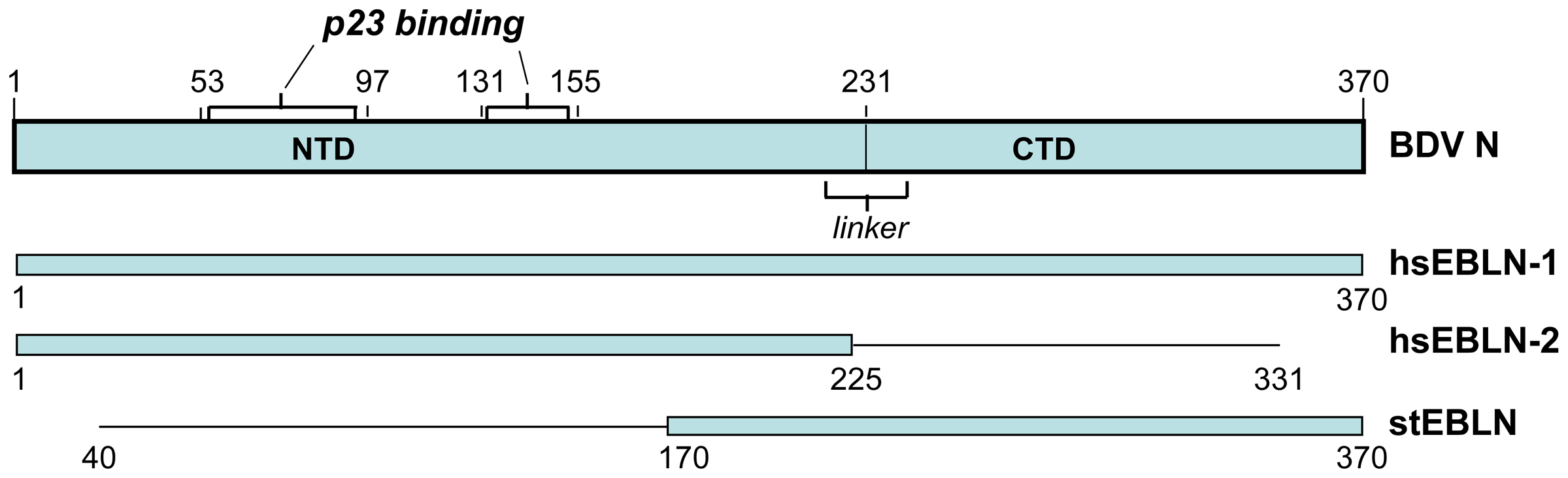 Domain structure of BDV N (p40) protein, and its alignment with open reading frames encoded in human and squirrel endogenous BDV N-like sequences.
