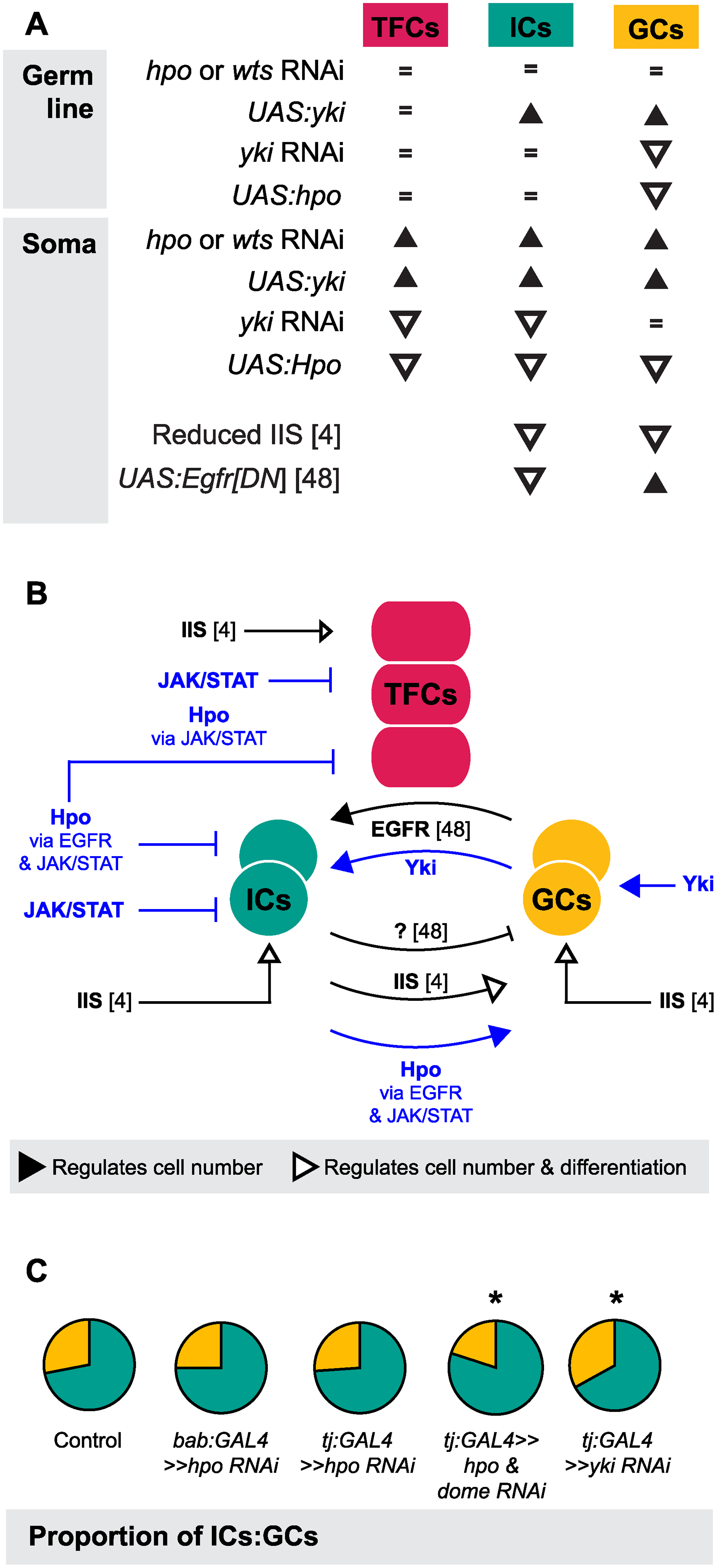The Hippo pathway regulates coordinated growth of the soma and germ line.