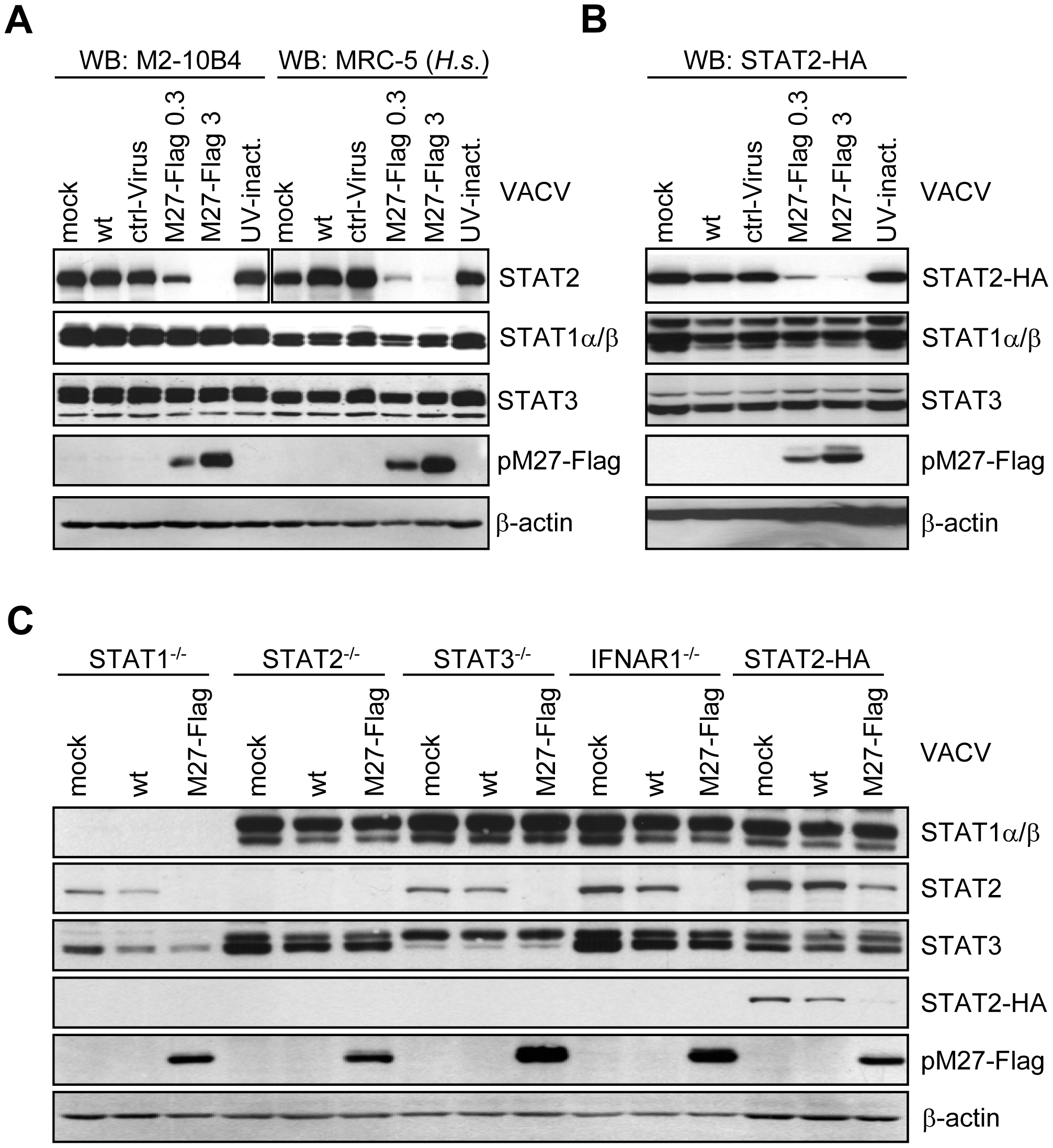 pM27 is essential and sufficient to reduce the amount of human and mouse STAT2.