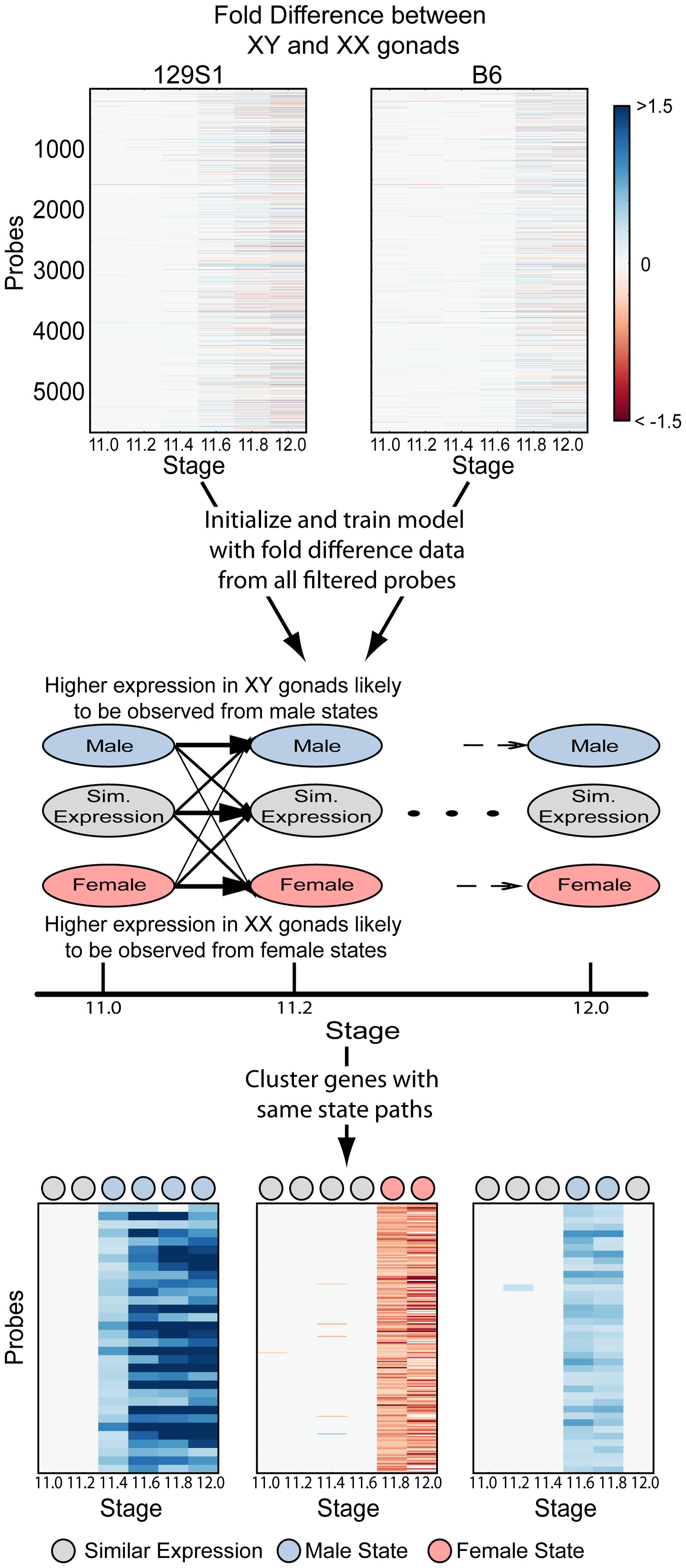 A Hidden Markov Model (HMM) to identify patterns of dimorphic expression in the gonad transcriptome.