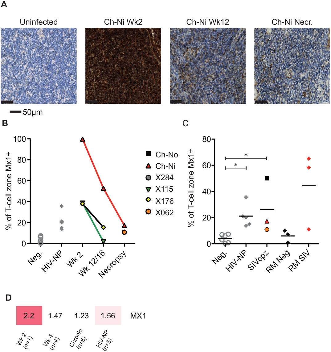 Analysis of Mx1 expression in the lymph nodes of SIVcpz infected chimpanzees.