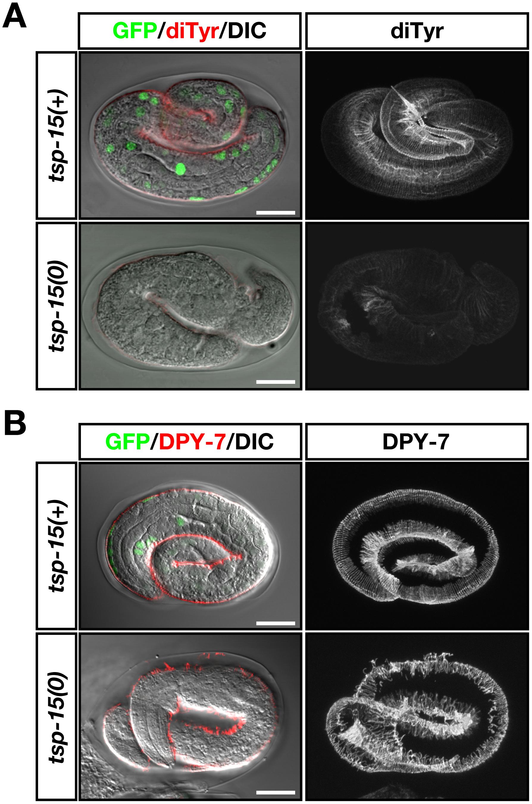 Deterioration of dityrosine in the <i>tsp-15</i> mutant.