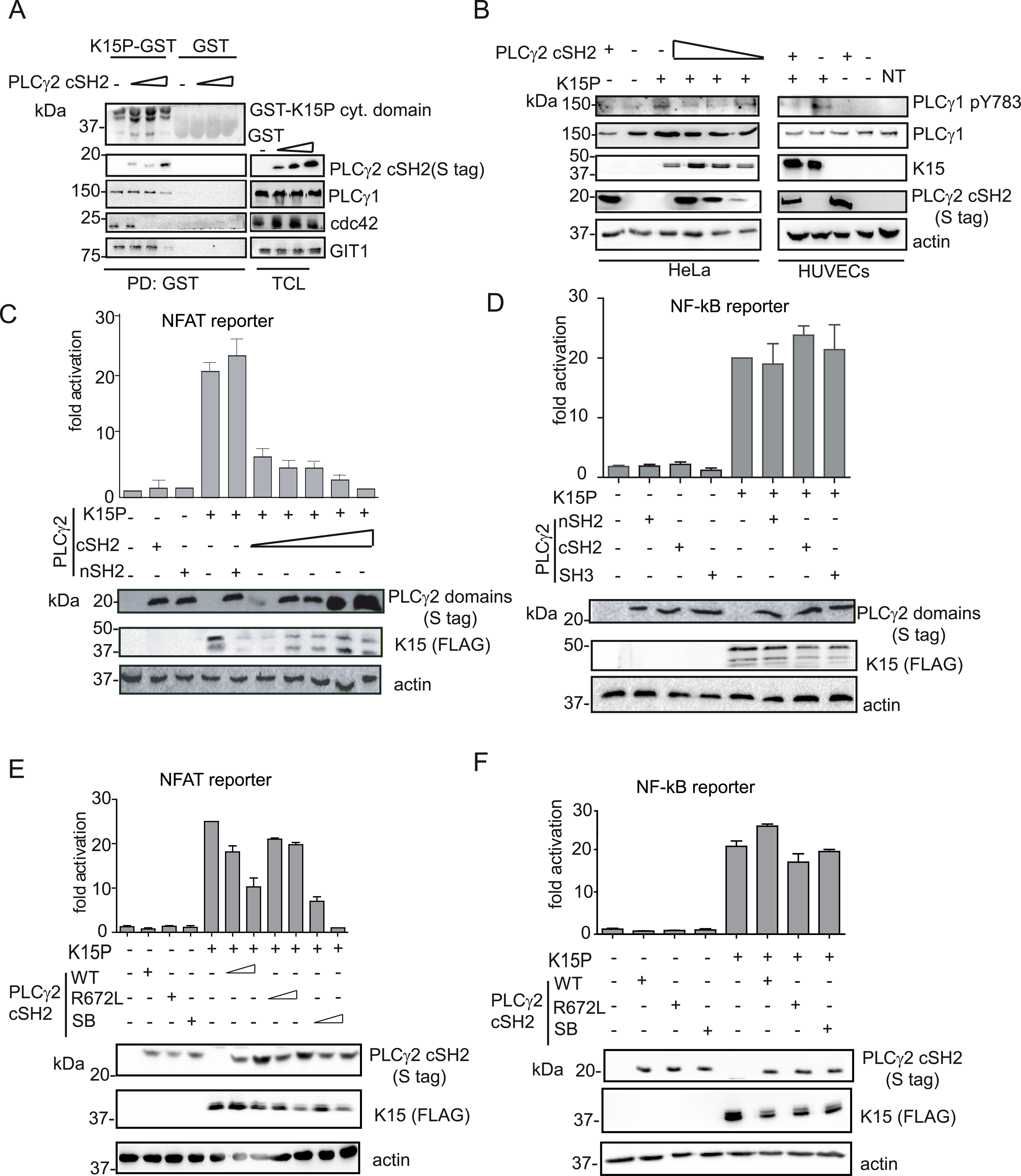 The isolated PLCγ2 cSH2 domain affects K15-mediated signalling in a dominant negative manner.