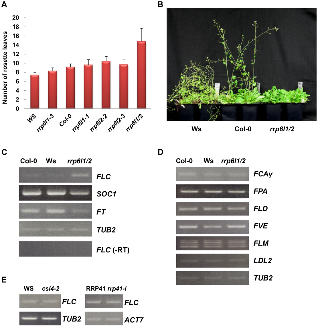 The <i>rrp6l1-3</i> and <i>rrp6l2-3</i> mutants affect flowering time and gene expression.