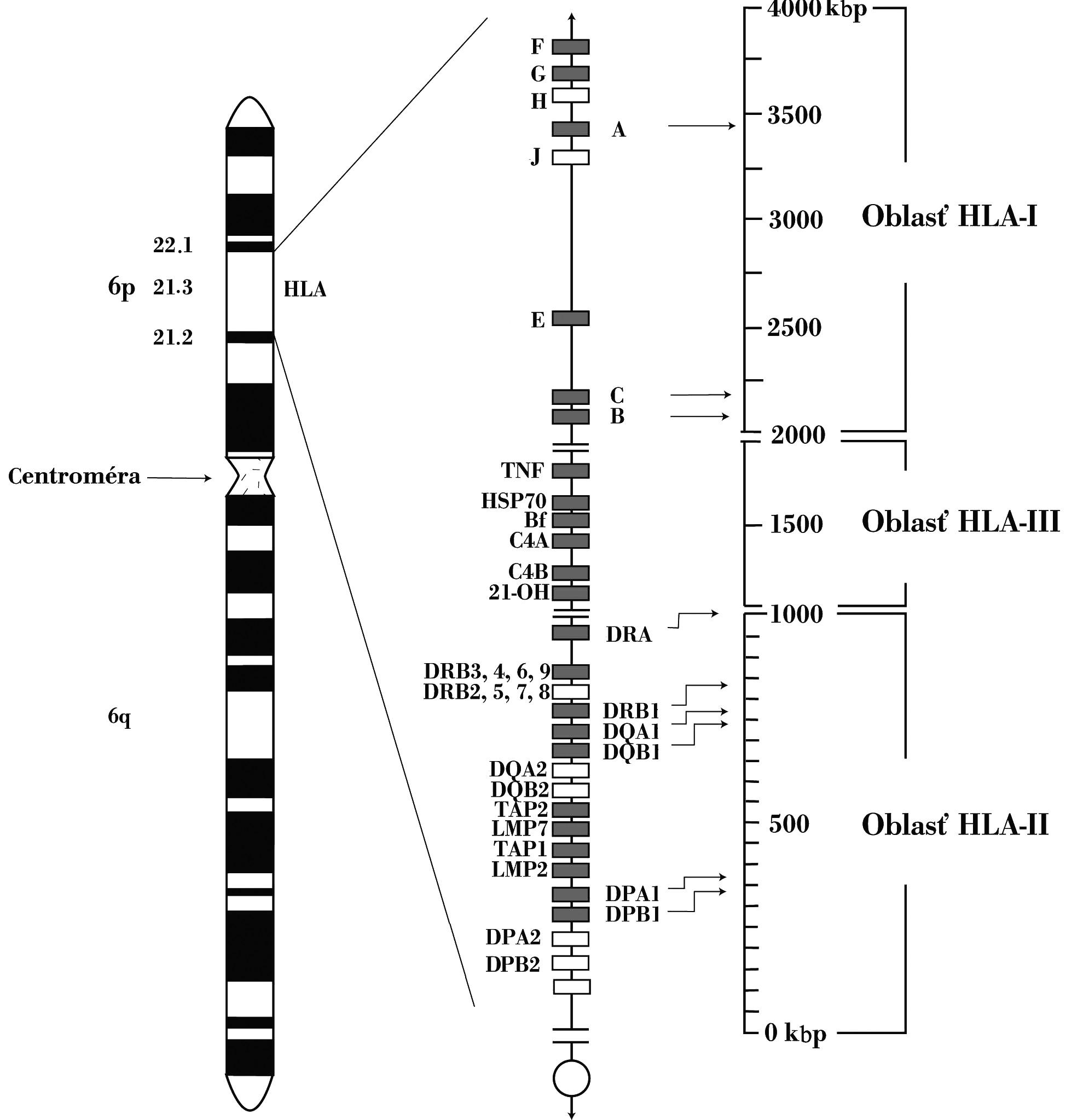 Genetická oblasť HLA-komplexu HLA-genetická oblasť sa nachádza na krátkom ramene 6. chromozómu. Skladá sa z početných lokusov. Gény lokalizované bližšie k centromére zaraďujeme do druhej triedy, gény umiestnené telomericky do prvej triedy a napokon gény nachádzajúce sa medzi centromerickými a telomerickými génmi patria k tretej triede Fig. 1. HLA complex genes The HLA complex genes are located on the short arm of chromosome 6. It consists of multiple loci. The genes located closer to the centromere are classified into class 2, those located close to the telomere are classified into class 1 and those located between the centrometric and telometric regions are classified into class 3
