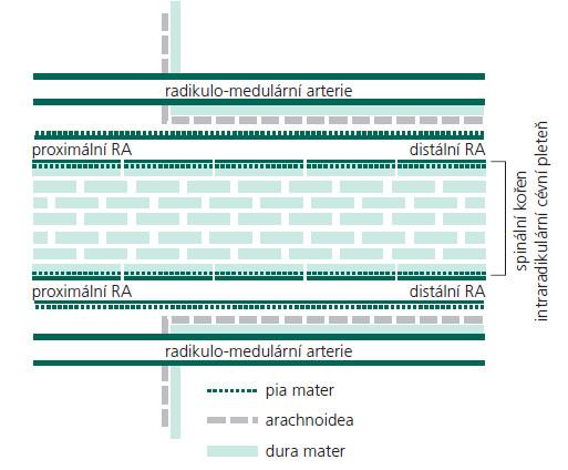 Schéma 1. Schematické znázornění cévního zásobení spinálních kořenů. RA – radikulární arterie [7].