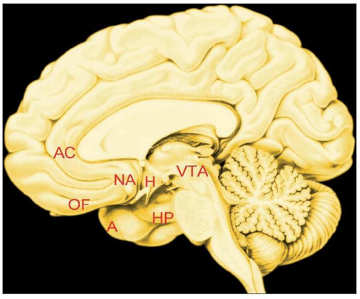 """Obr. 2. Poloha některých klíčových uzlů """"map lásky"""". Vnitřní plocha pravé mozkové hemisféry<br> Vysvětlivky: AC=přední část gyrus cinguli, OF=očnicová (orbitofrontální) kůra, NA=nucleus accumbens (projekce na povrch hemisféry), A=amygdala (projekce na povrch hemisféry), H=hypothalamus, HP=hipokampus, VTA=area tegmentalis ventralis"""