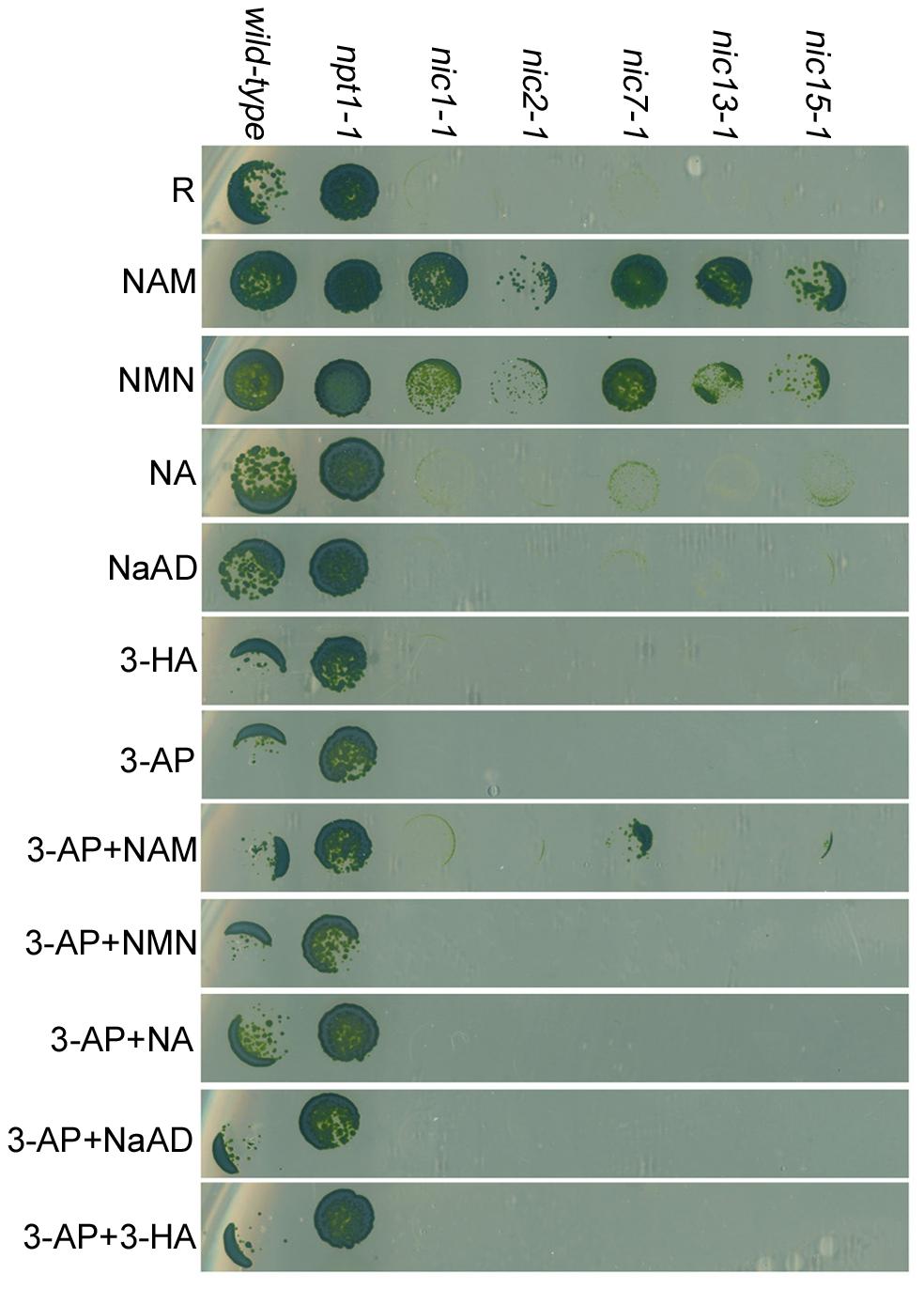 <i>Chlamydomonas</i> nicotinamide-requiring <i>nic</i> mutants show 3-AP sensitivity.