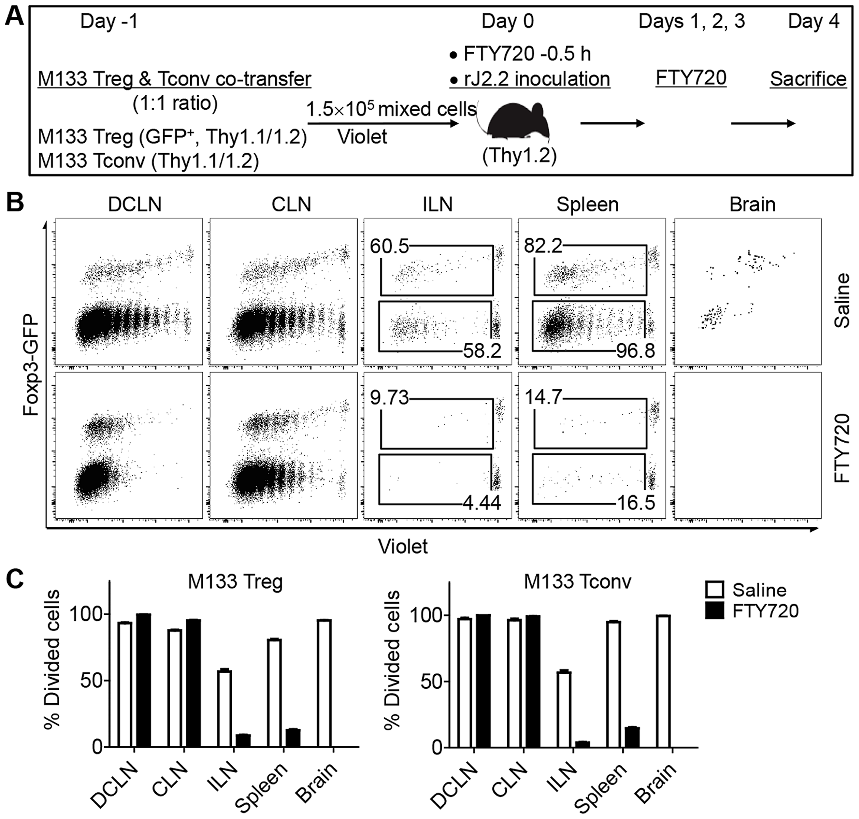 M133 Tconv and Treg proliferation occurs in DCLN and CLN after FTY720 treatment.