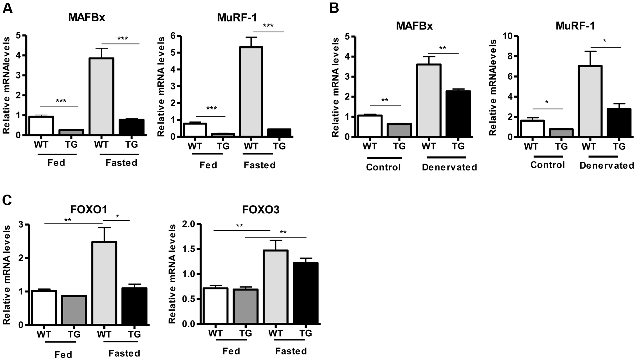 SIRT1 overexpression inhibits the expression of muscle atrophy genes.