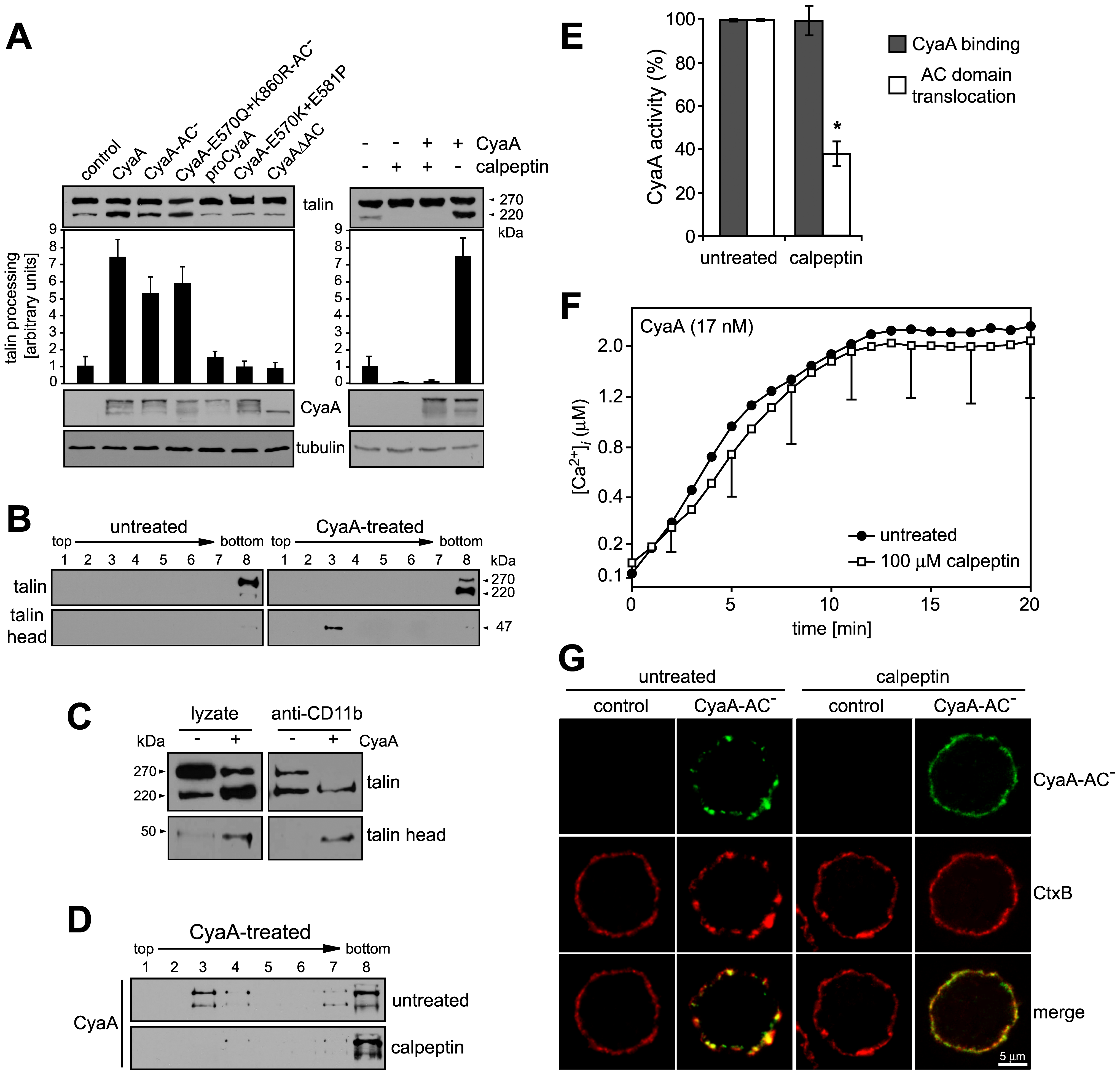 Mobilization of CyaA into lipid rafts depends on talin cleavage by calpain.