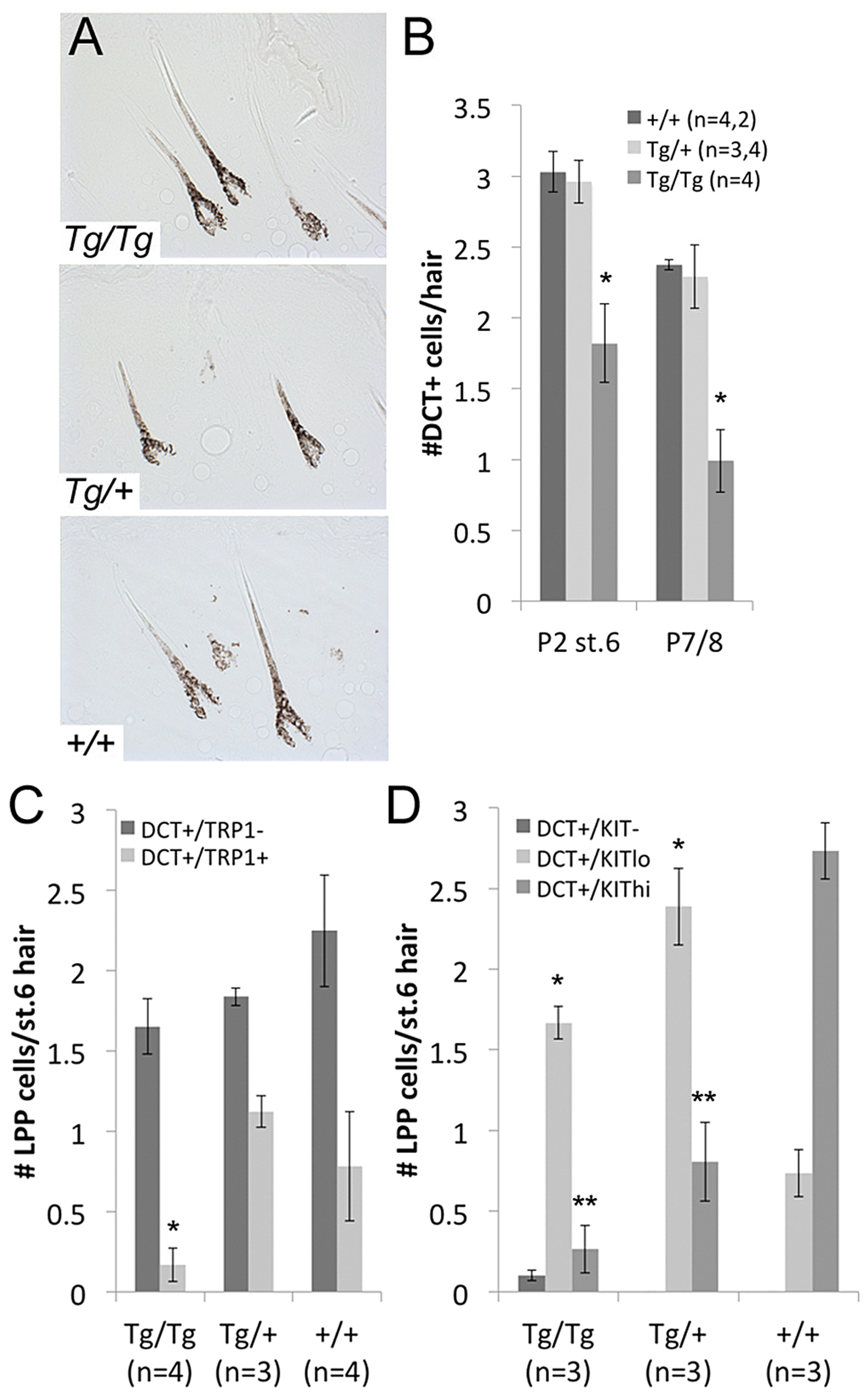 LPP melanocytes are reduced in <i>Tg(DctSox10)</i> homozygotes during hair morphogenesis.
