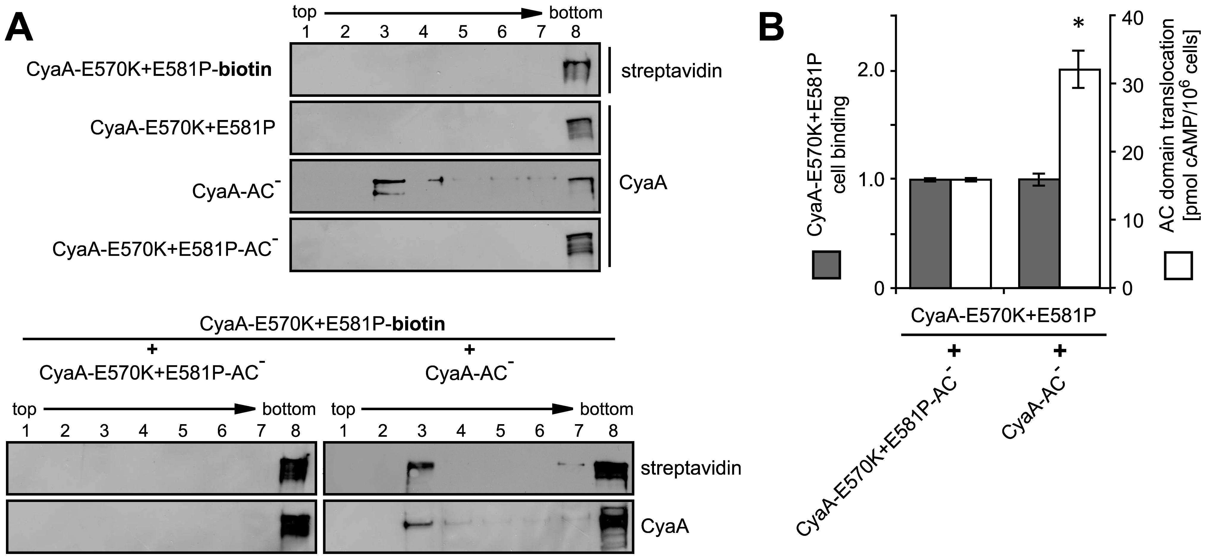 AC domain of CyaA translocates across cellular membrane from lipid rafts.