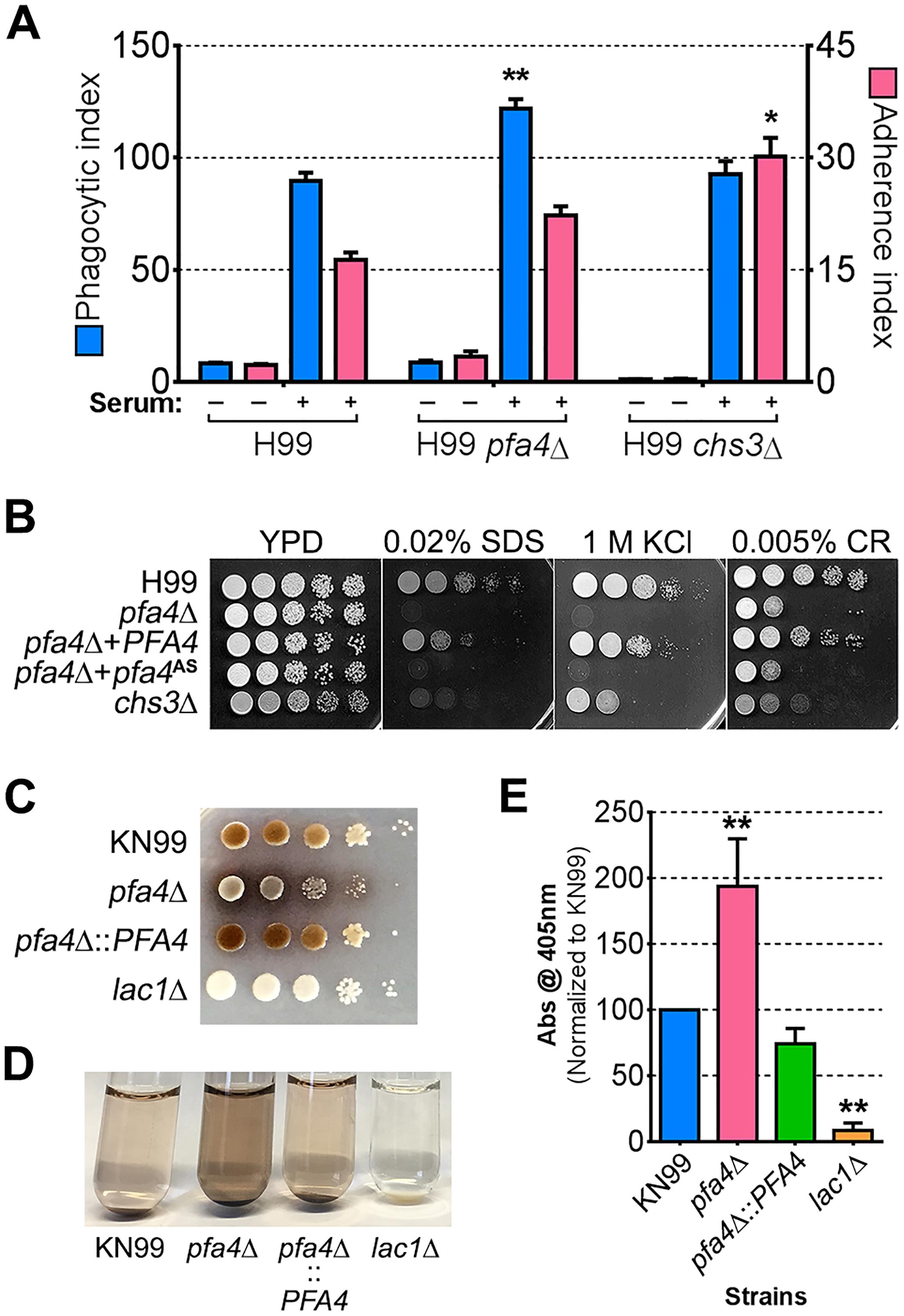 Phenotypic comparison of <i>pfa4</i>Δ and <i>chs3</i>Δ cells.