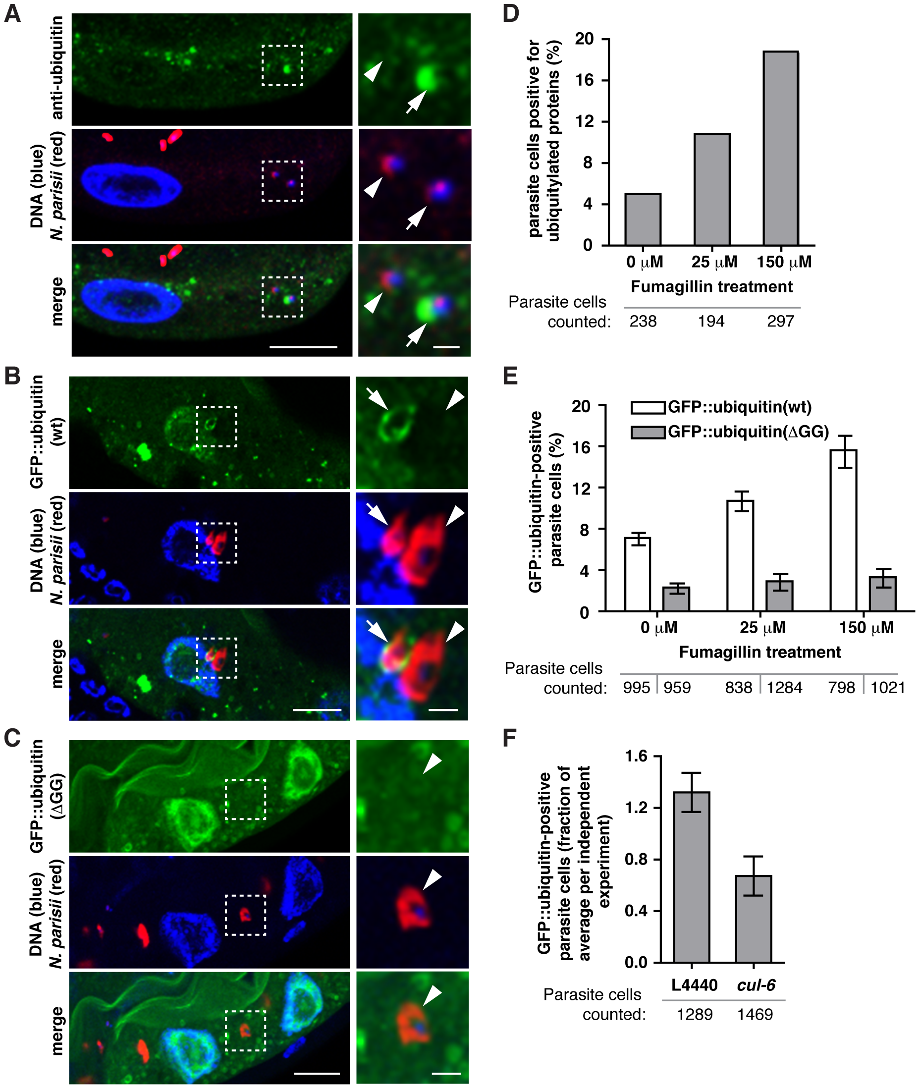 <i>N. parisii</i> cells are targeted by host ubiquitin early during infection.