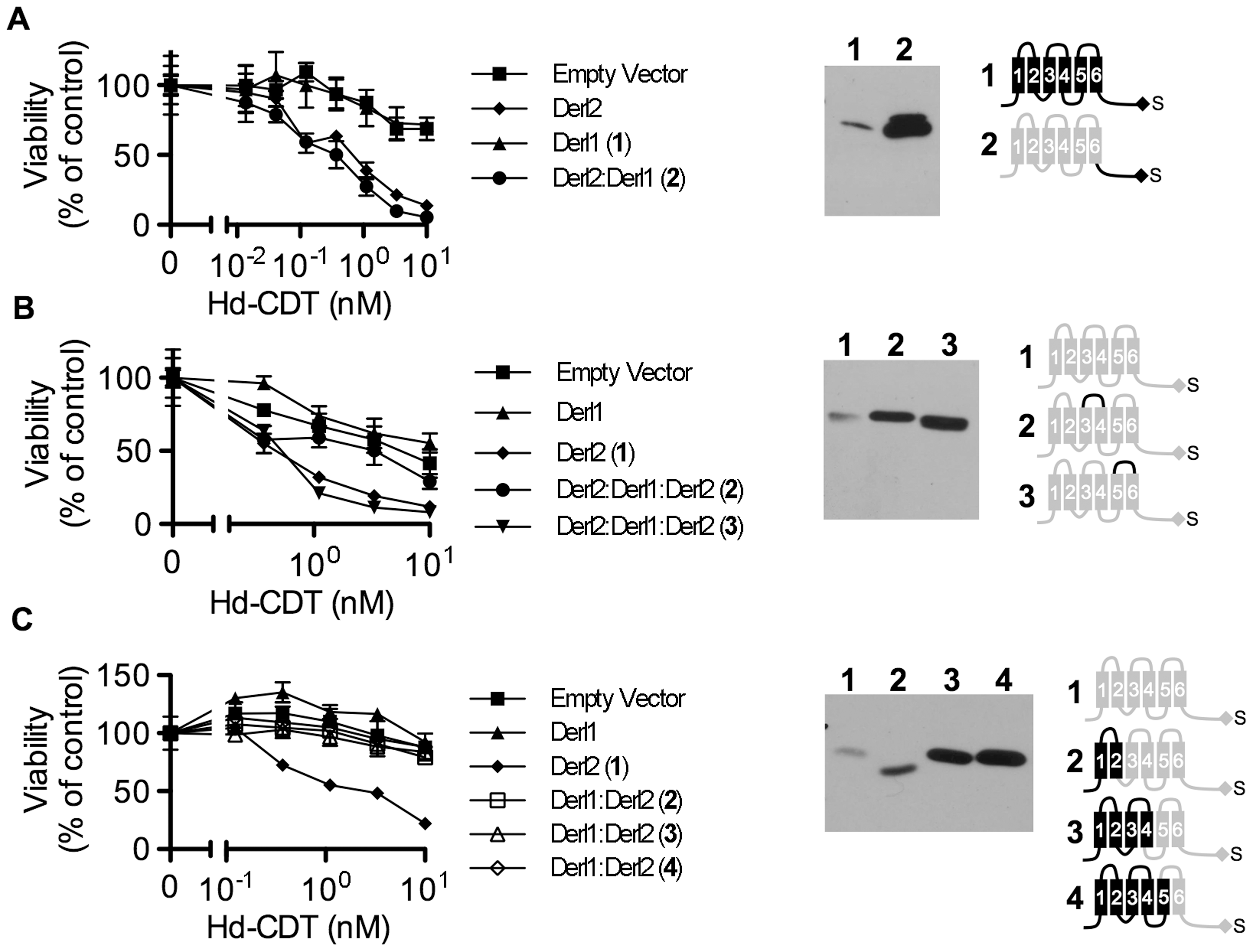 Identification of Derl2 domains required for CDT intoxication.