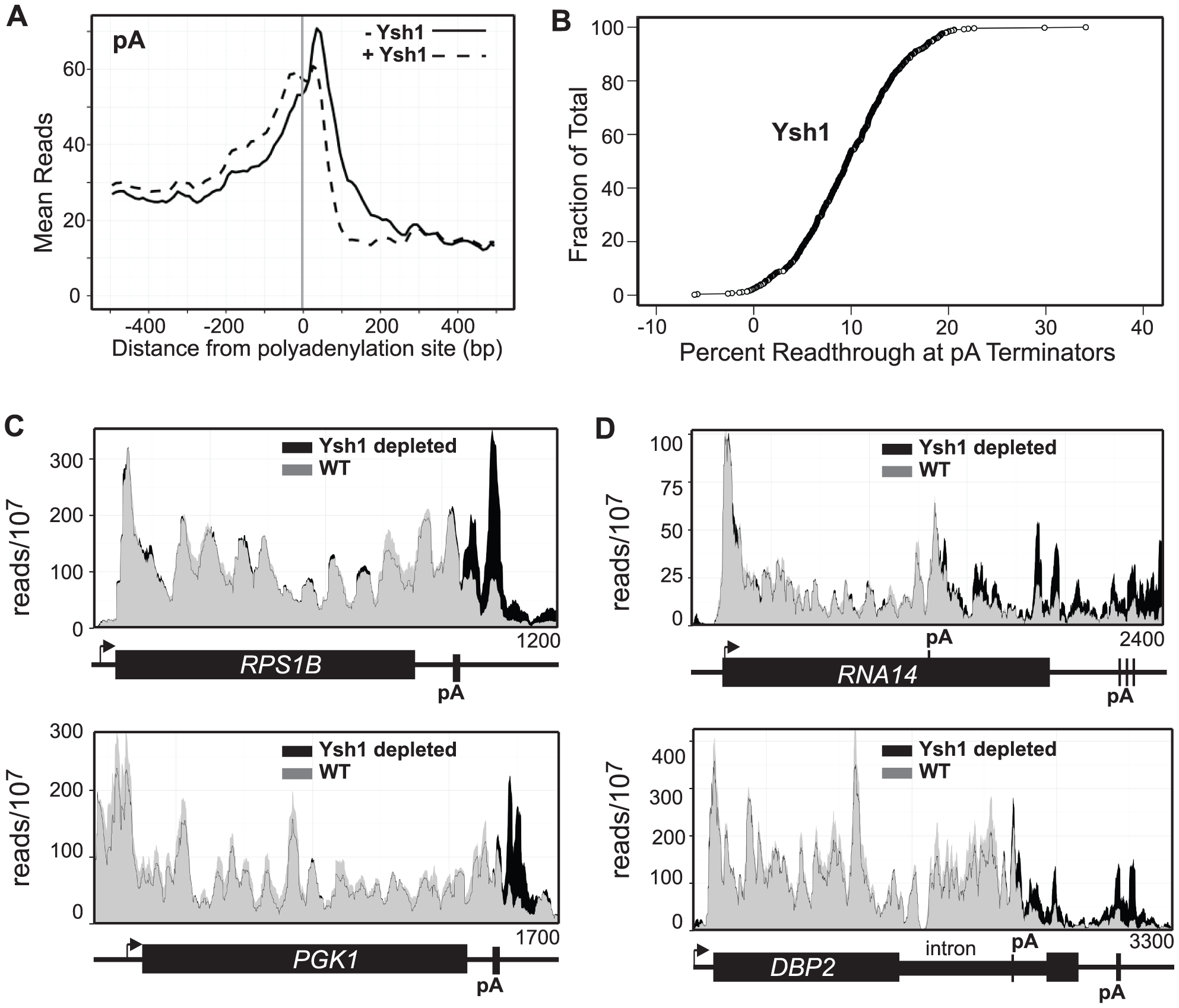Ysh1 depletion causes readthrough at pA sites.