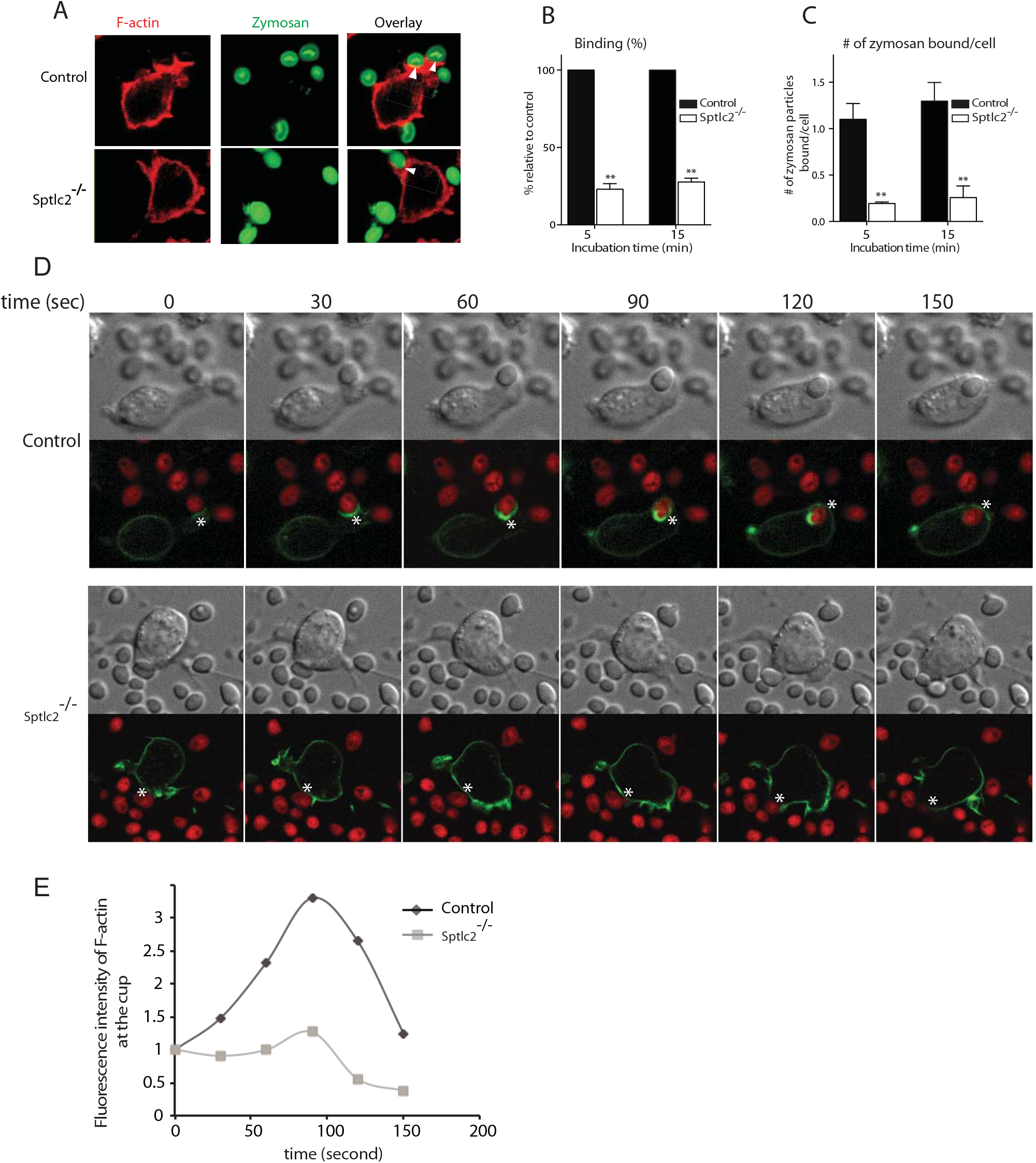 Sptlc2<sup>-/-</sup> DC2.4 cells are defective in particulate binding and phagocytic cup formation.