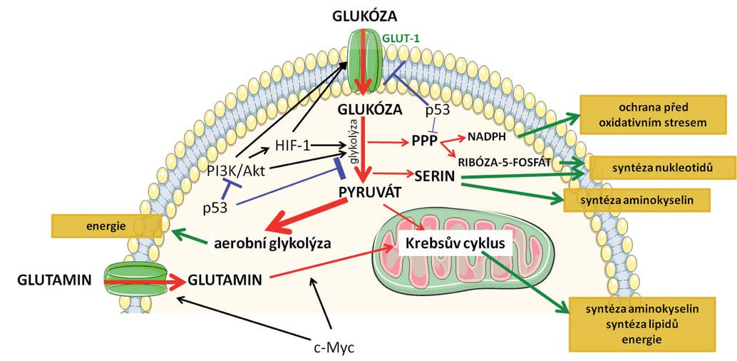 Schematické znázornění základních metabolických drah, k jejichž přeprogramování dochází v nádorových buňkách. Červenými šipkami je označen metabolizmus glukózy, jejíž zvýšený příjem je charakteristický pro nádorové buňky a metabolizmus glutaminu. Modře je znázorněn inhibiční vliv nádorového supresoru p53 a zeleně jsou označeny efekty jednotlivých drah na buňku. Klíčové mechanizmy spojené s přeprogramováním metabolizmu jsou podrobněji popsané v textu.