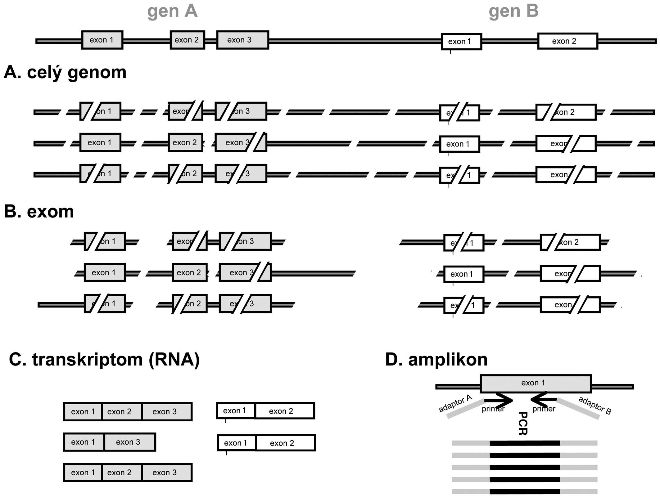Zjednodušené schéma tvorby sekvenační knihovny u různých typů masivně paralelního sekvenování. A. celogenomové sekvenace: po naštěpení jsou sekvenovány všechny fragmenty DNA o vhodné délce; B. exomová sekvenace: jsou selektovány pouze fragmenty obsahující sekvence kódujících oblastí; C. transkriptomová sekvenace: sekvenována RNA po přepisu do cDNA; D. amplikonová sekvenace: sekvenovány s velkou hloubkou čtení produkty jedné nebo více PCR reakcí cílených na oblast zájmu (např. mutace u nádoru). Použité primery mohou již obsahovat sekvence adaptorů specifických pro daný přístroj (šedá barva).